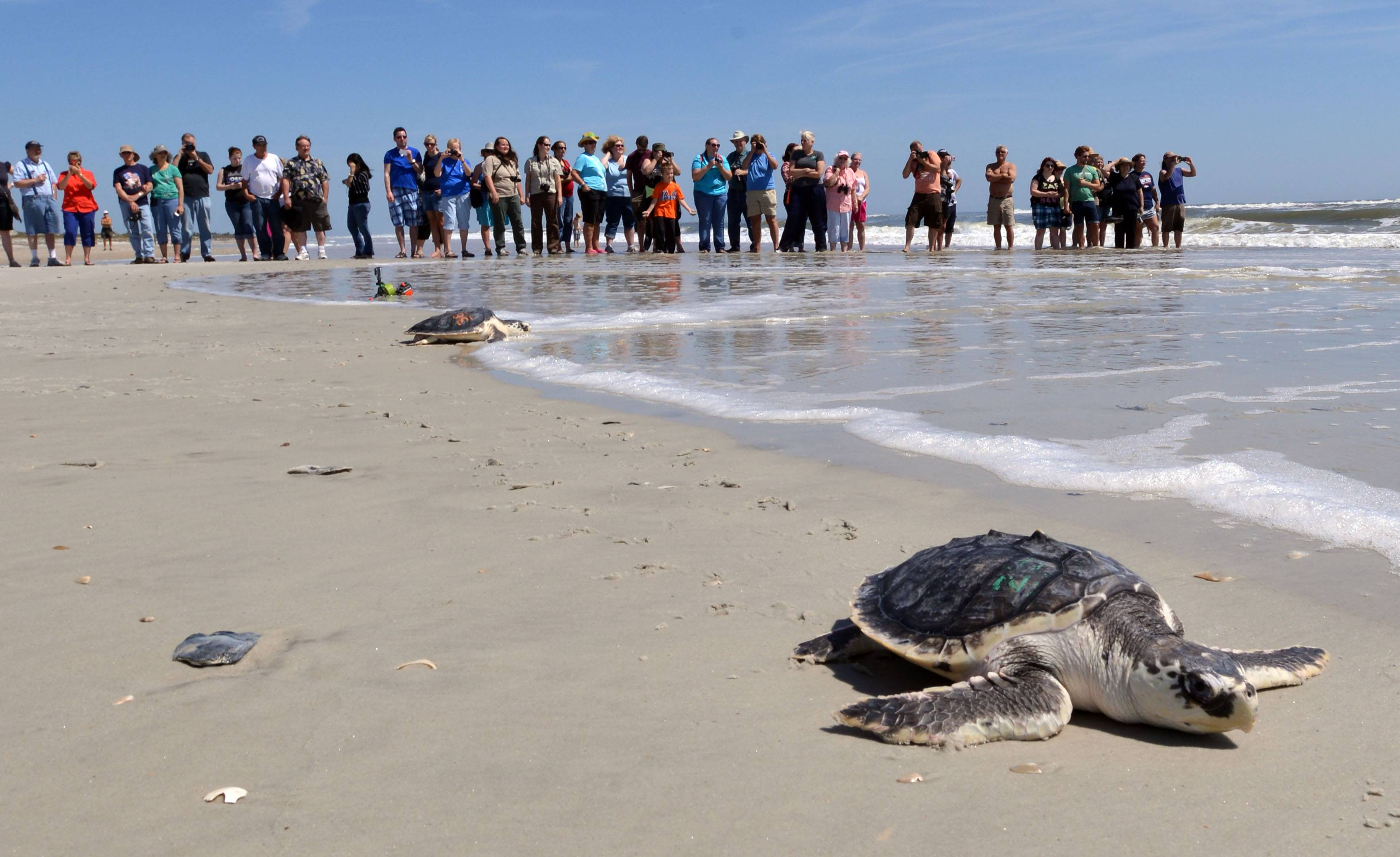 A group of people watch a turtle swim to the ocean after rehabilitation in Jacksonville, Fla. The Obama Administration is opening the Eastern Seaboard to offshore oil exploration for the first time in decades.