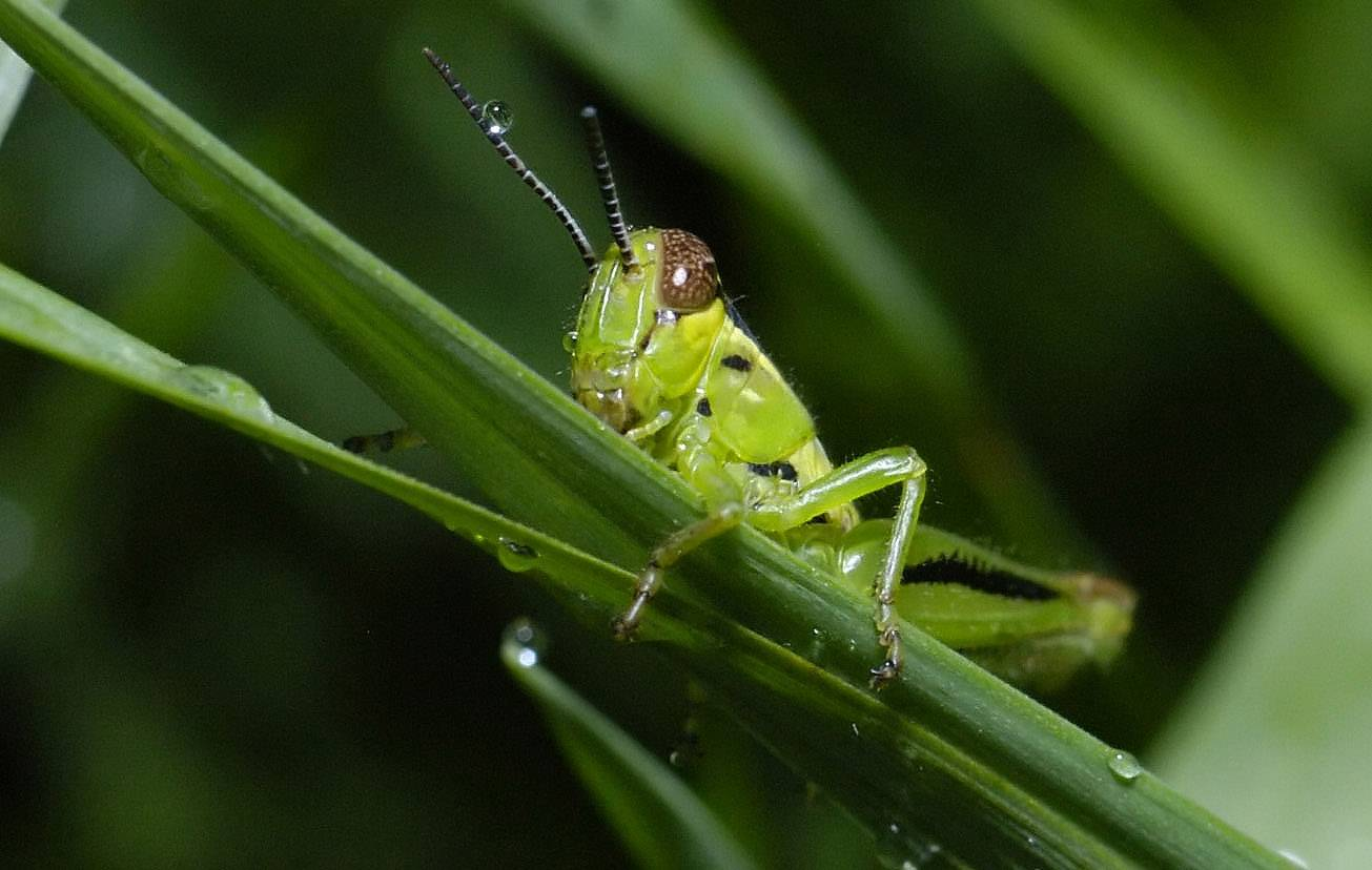 Grasshoppers are part of the group of long-legged insects called orthoptera, who make music by rubbing wings and legs together. Many are heard making loud music at night.