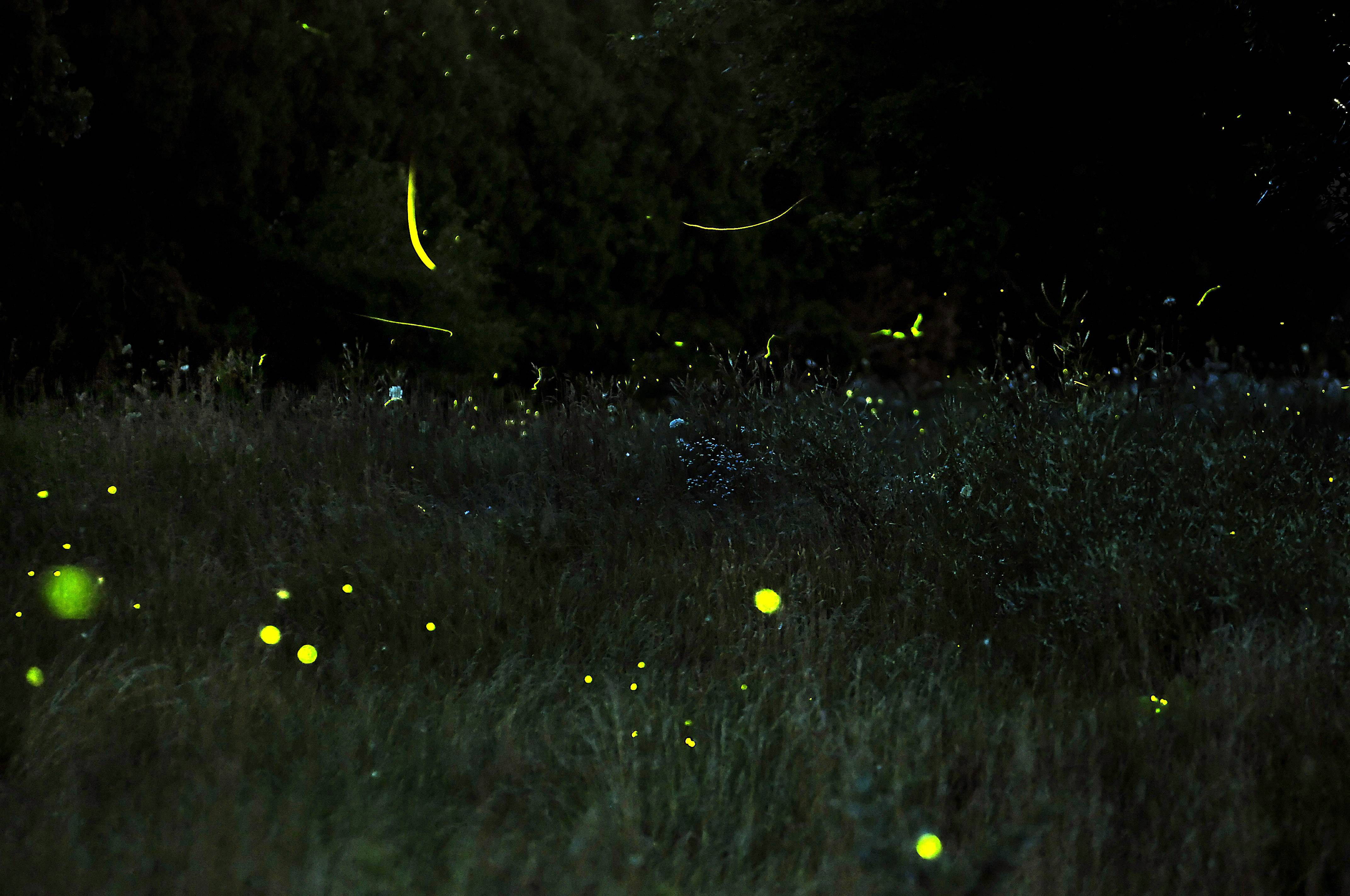 Head outdoors for a walk on a summer night, and you might be fortunate enough to see fireflies.