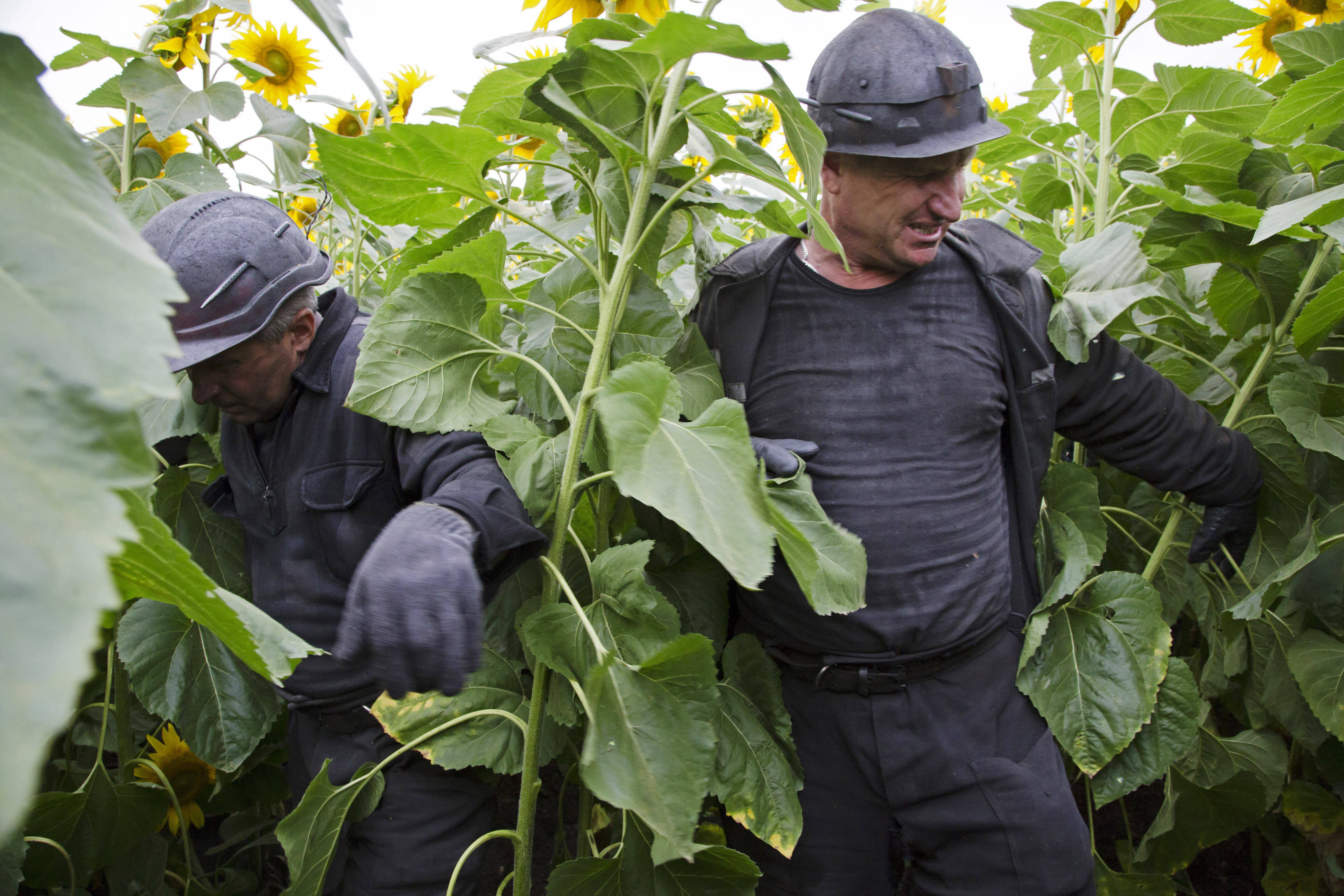 Ukrainian coal miners wade through a field of sunflowers as they search the site .