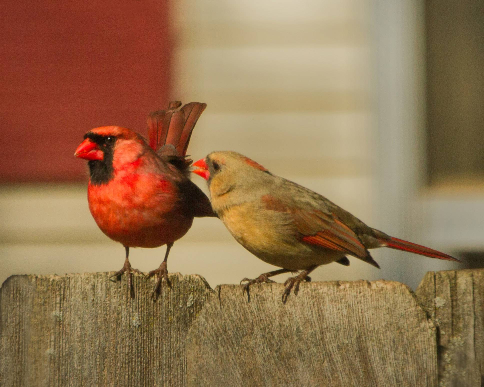 Two cardinals, male and female, mingle on a fence in an Arlington Heights backyard in April.