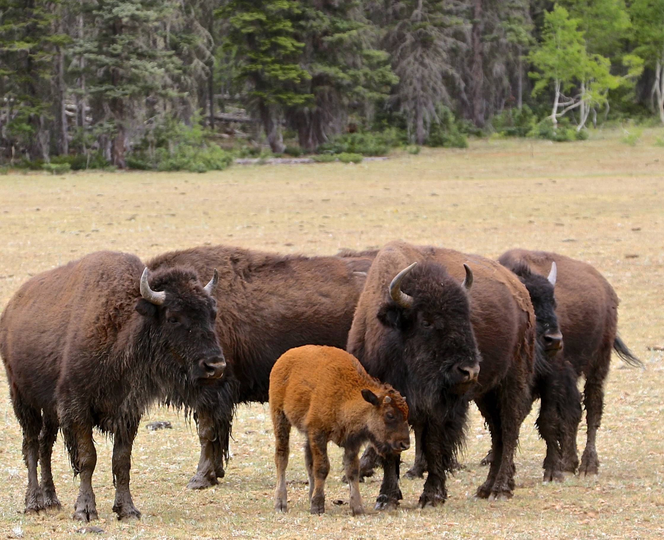 A small herd of bison gather in a meadow near the North Rim of The Grand Canyon.