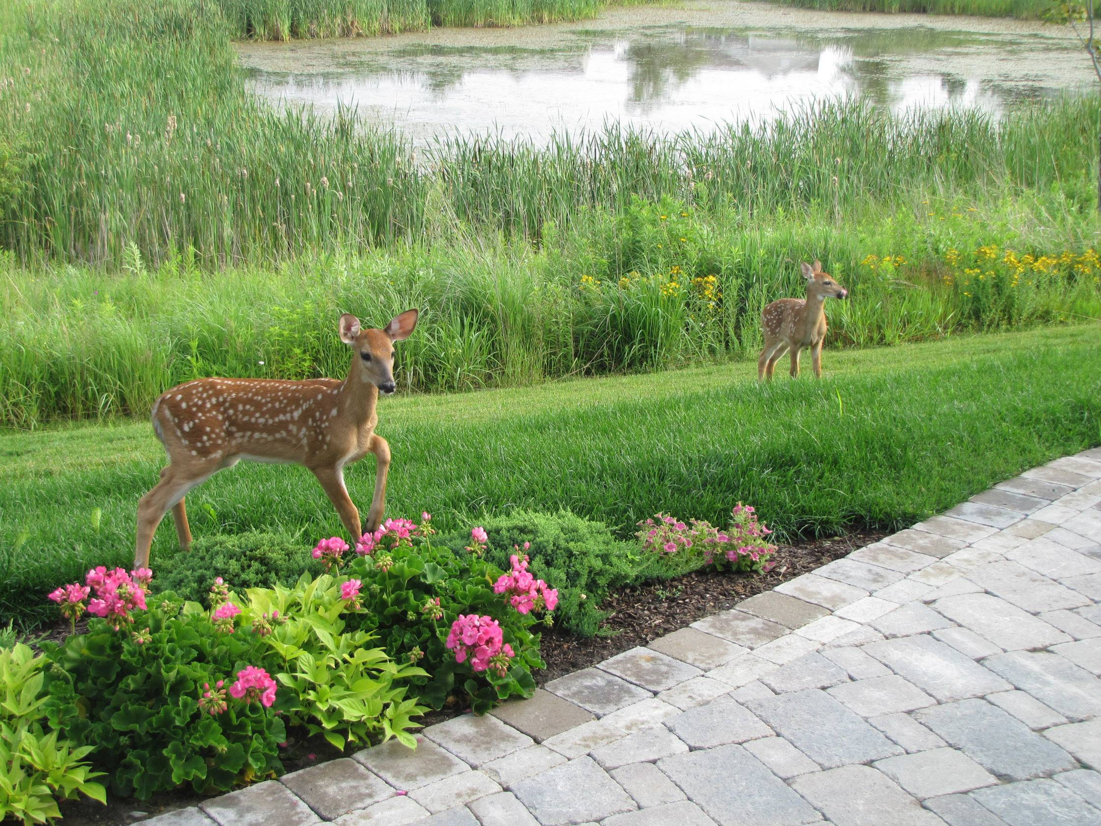 Two fawns eat flowers in Dell Webb Grand Dominion community in Mundelein.