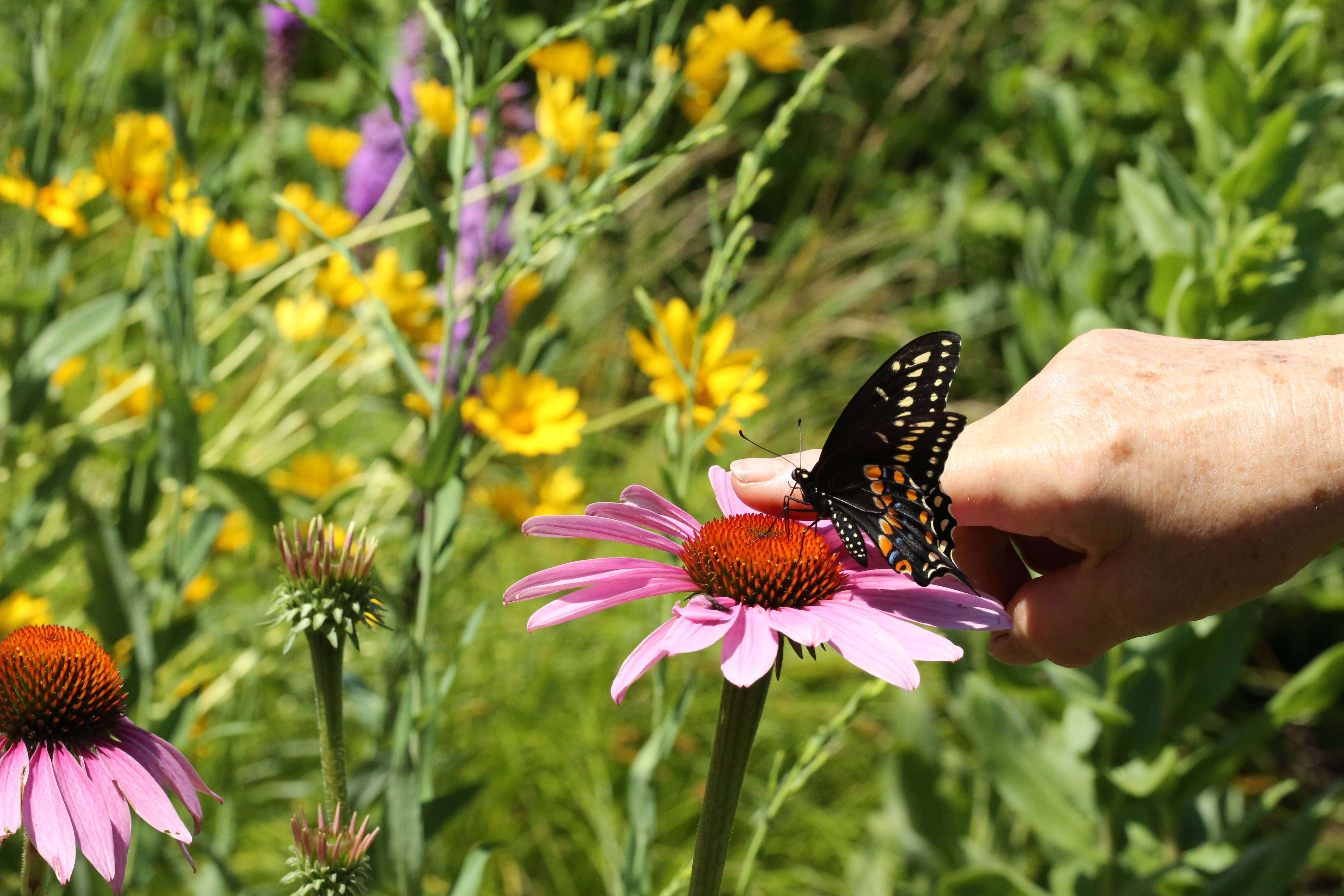 A Black Swallowtail butterfly snacks on purple coneflower to celebrate its release at DuPage Unitarian Universalist Church in Naperville.