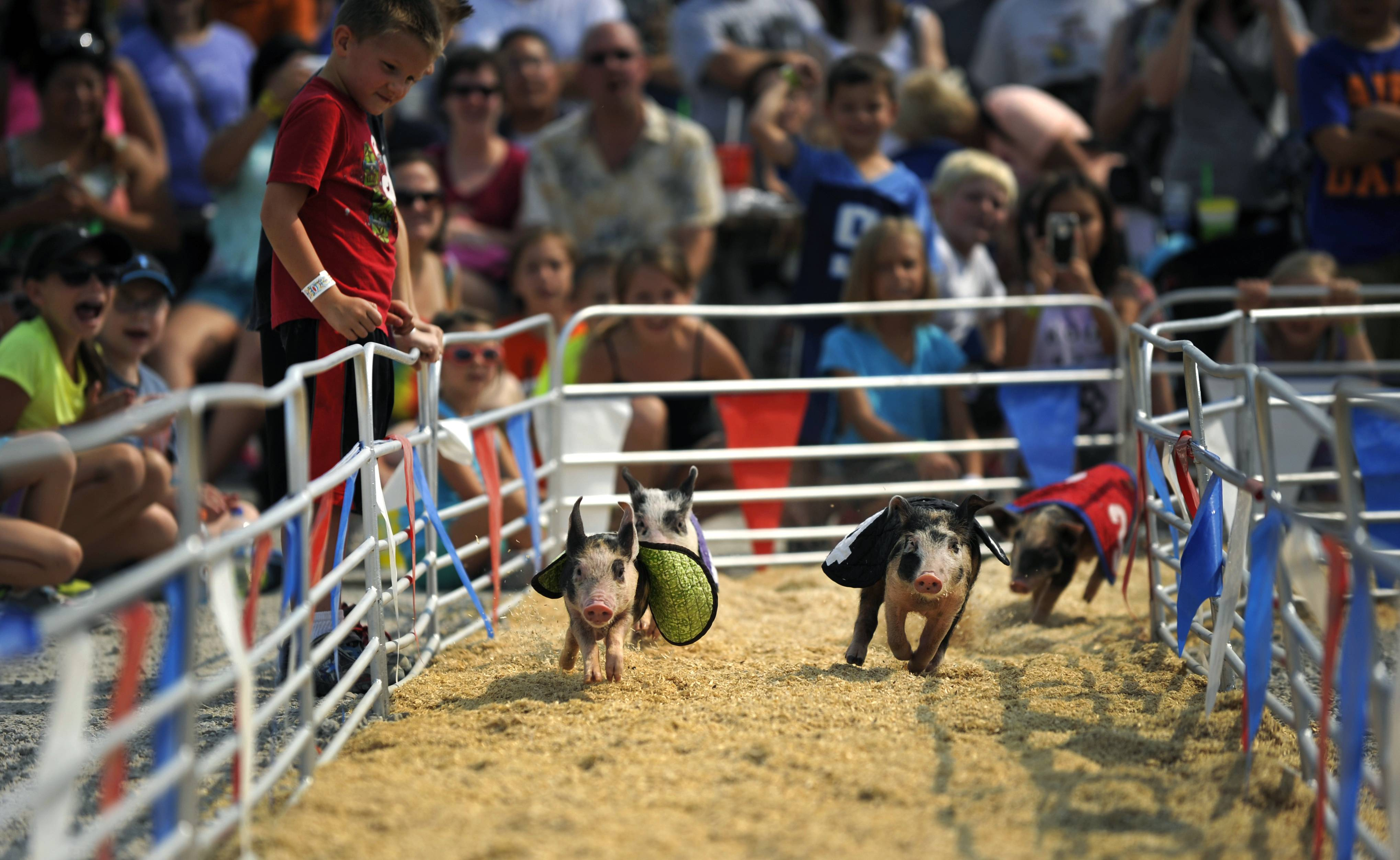 Crowds cheer as four little pigs race around the Swifty Swine ring at the Kane County Fair in St. Charles on Saturday. Each section of the crowd was responsible for cheering on one of the pigs.