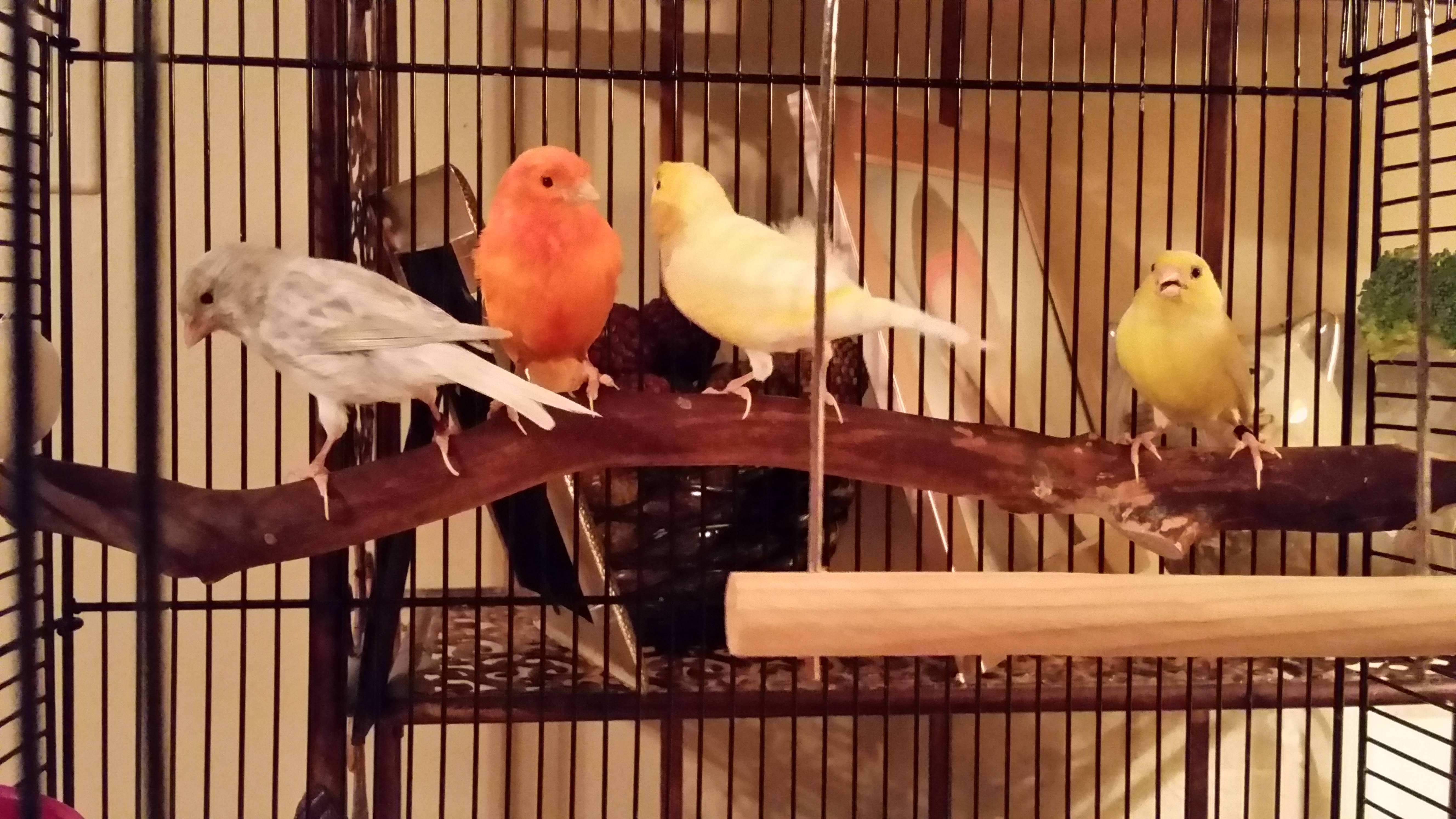 These canaries recently were found roaming around Capitol Lane on Gurnee's west side. Resident Carla Hartman took in the birds and named them, from left, Chips, Salsa, Queso and Taco. Her 22-year-old cockatiel, Nacho, has its own cage.