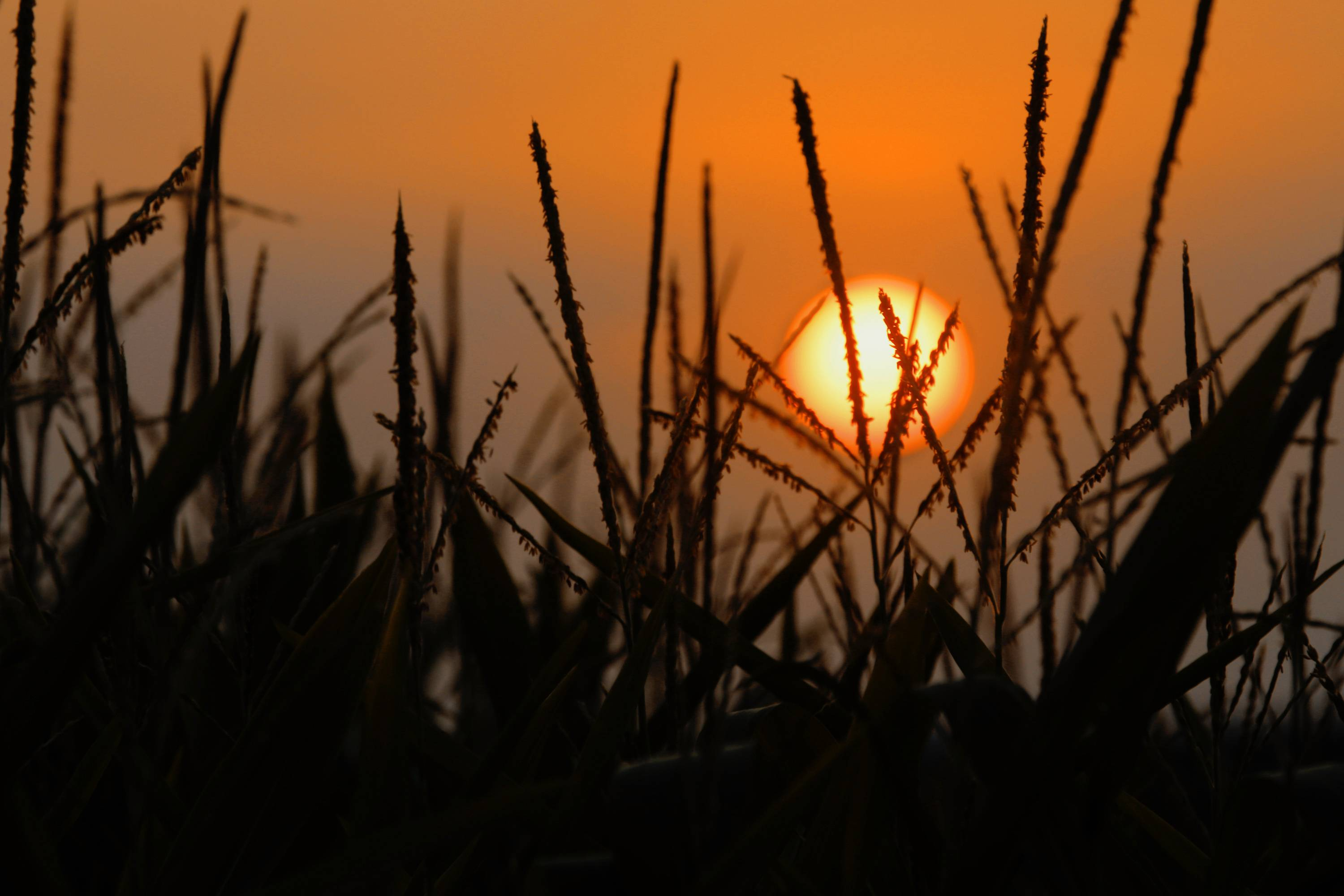 The U.S. Department of Agriculture says Illinois' corn crop is maturing faster than normal and faring well.