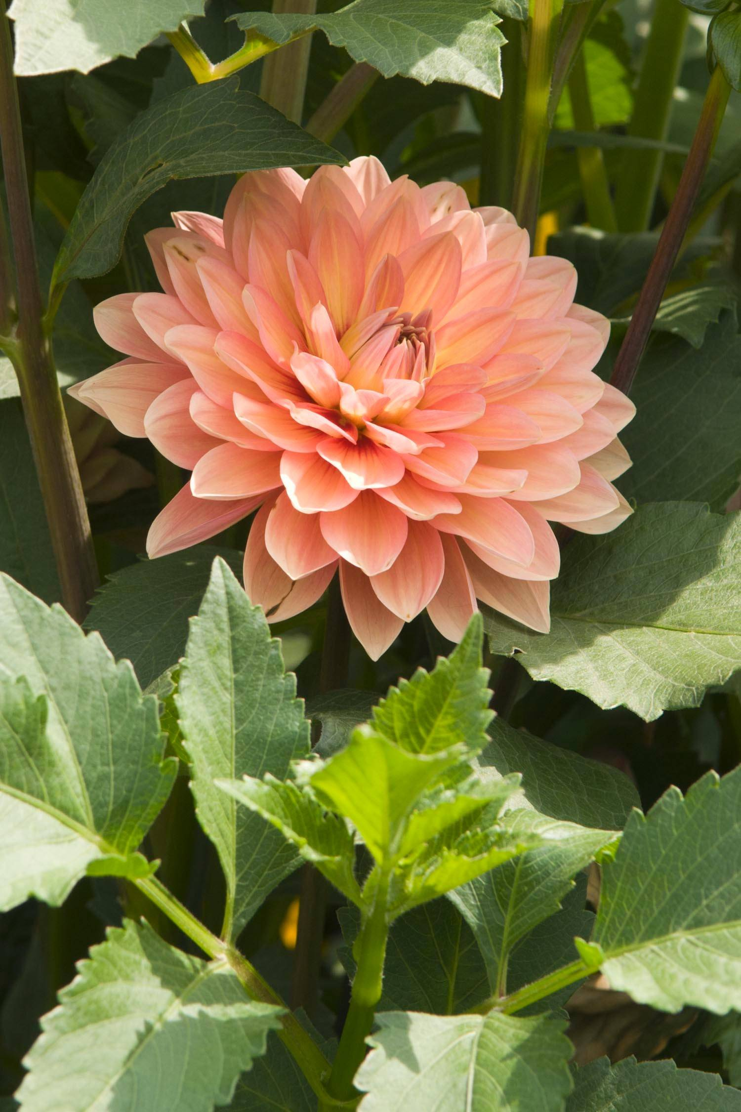 To maximize the size of your dahlia flower, keep the main stems free of side shoots.