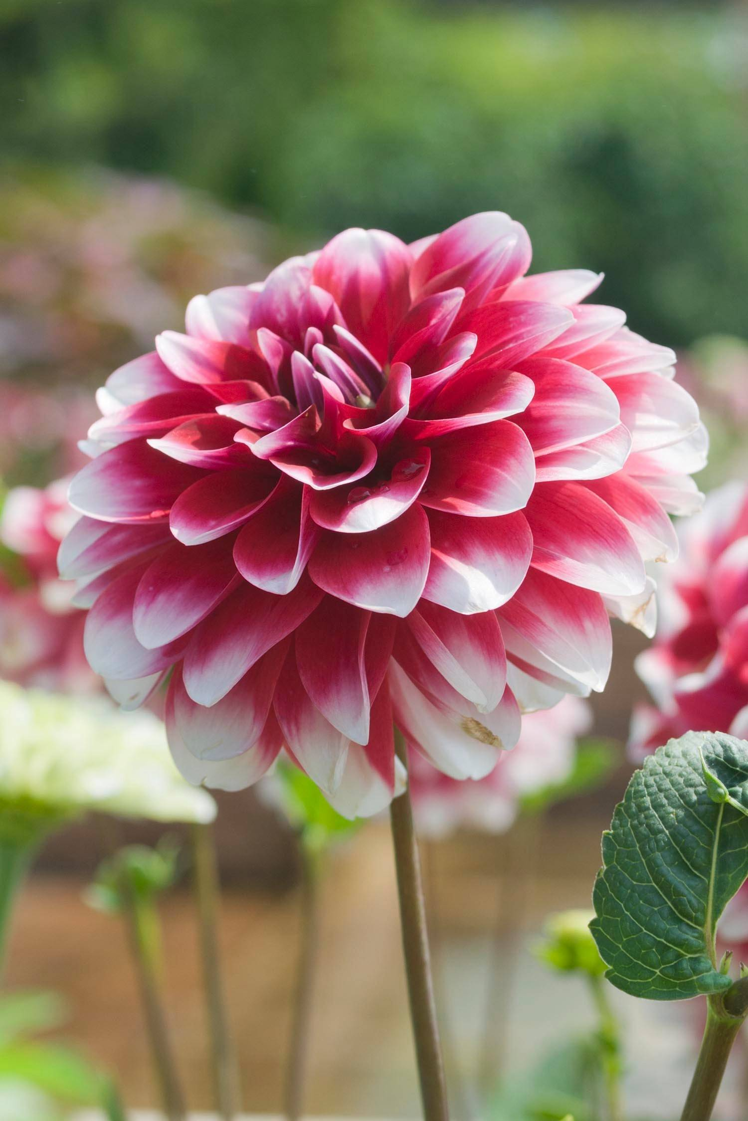 Provide support to dahlia plants to prevent stems breaking from wind damage.