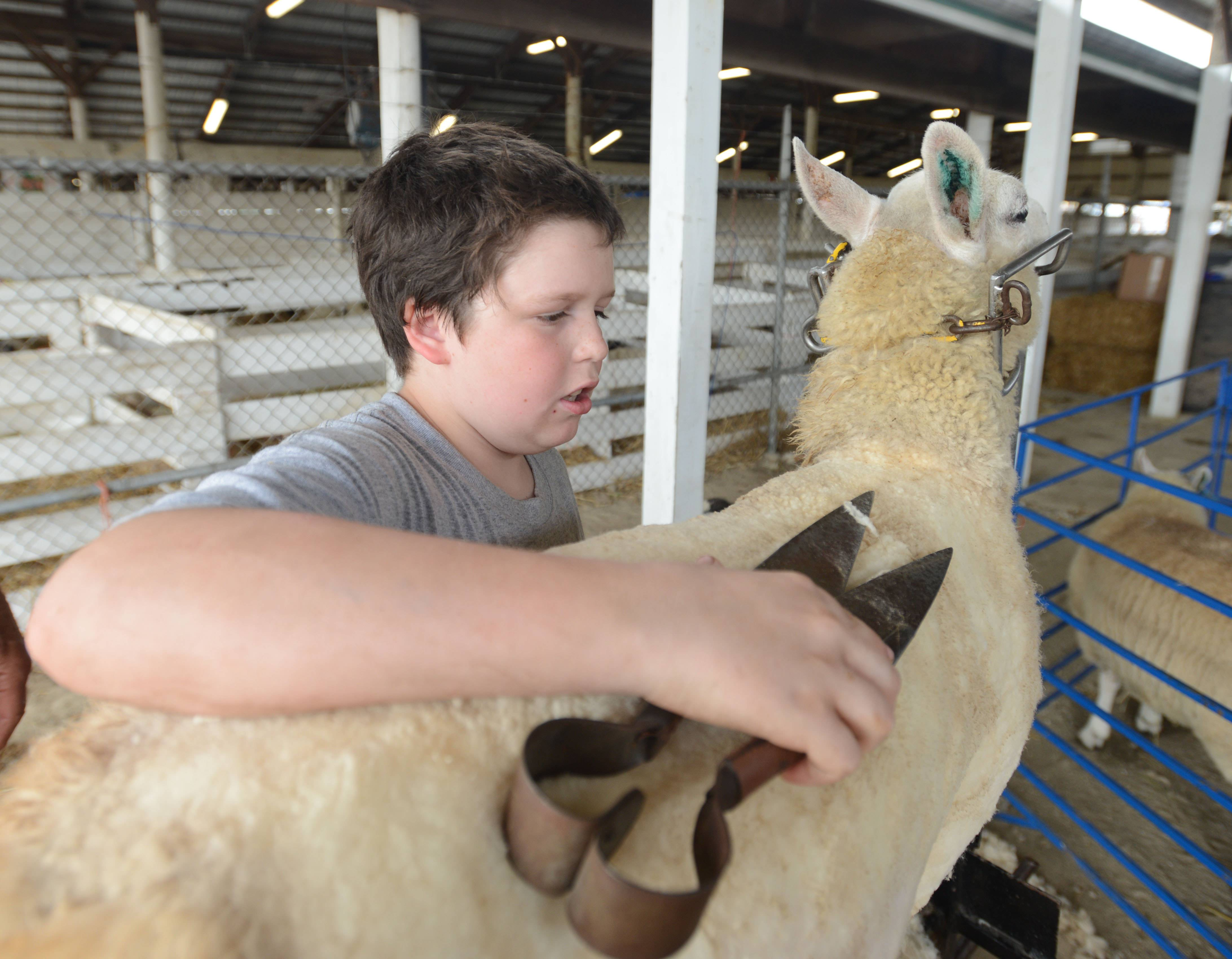 Preparations are under way for the DuPage County Fair, which opens Wednesday in Wheaton. Oli Baraclough,11, of Carol Stream shears a sheep. He was getting ready for the competition later in the week.