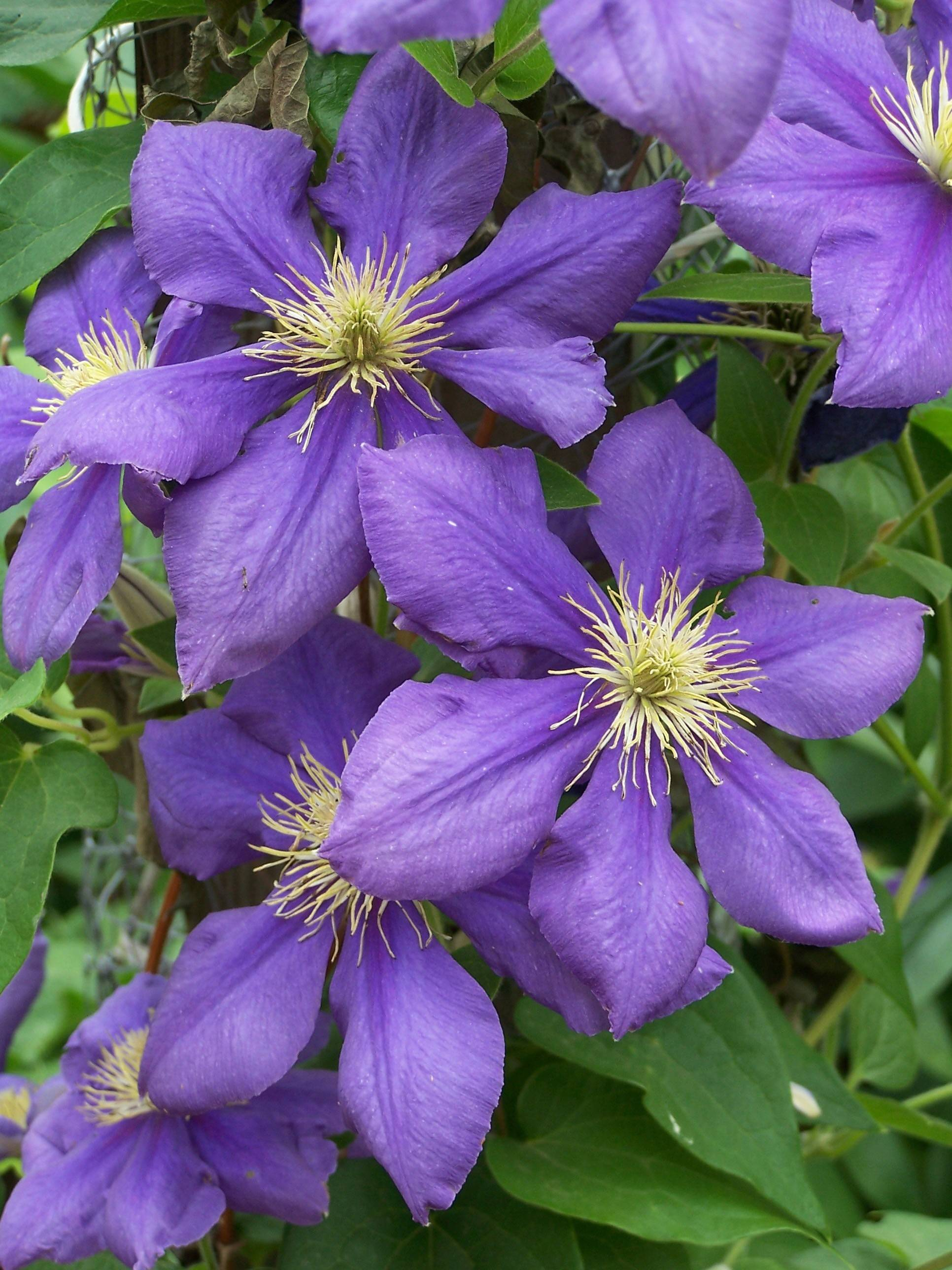 Clematis are available in just about every color of the rainbow.