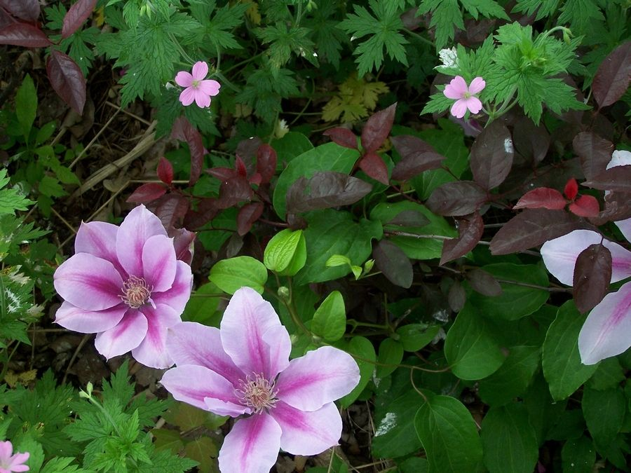 Rambling like a ground cover, the flowers of this clematis echo the Geranium 'Wargrave Pink.'