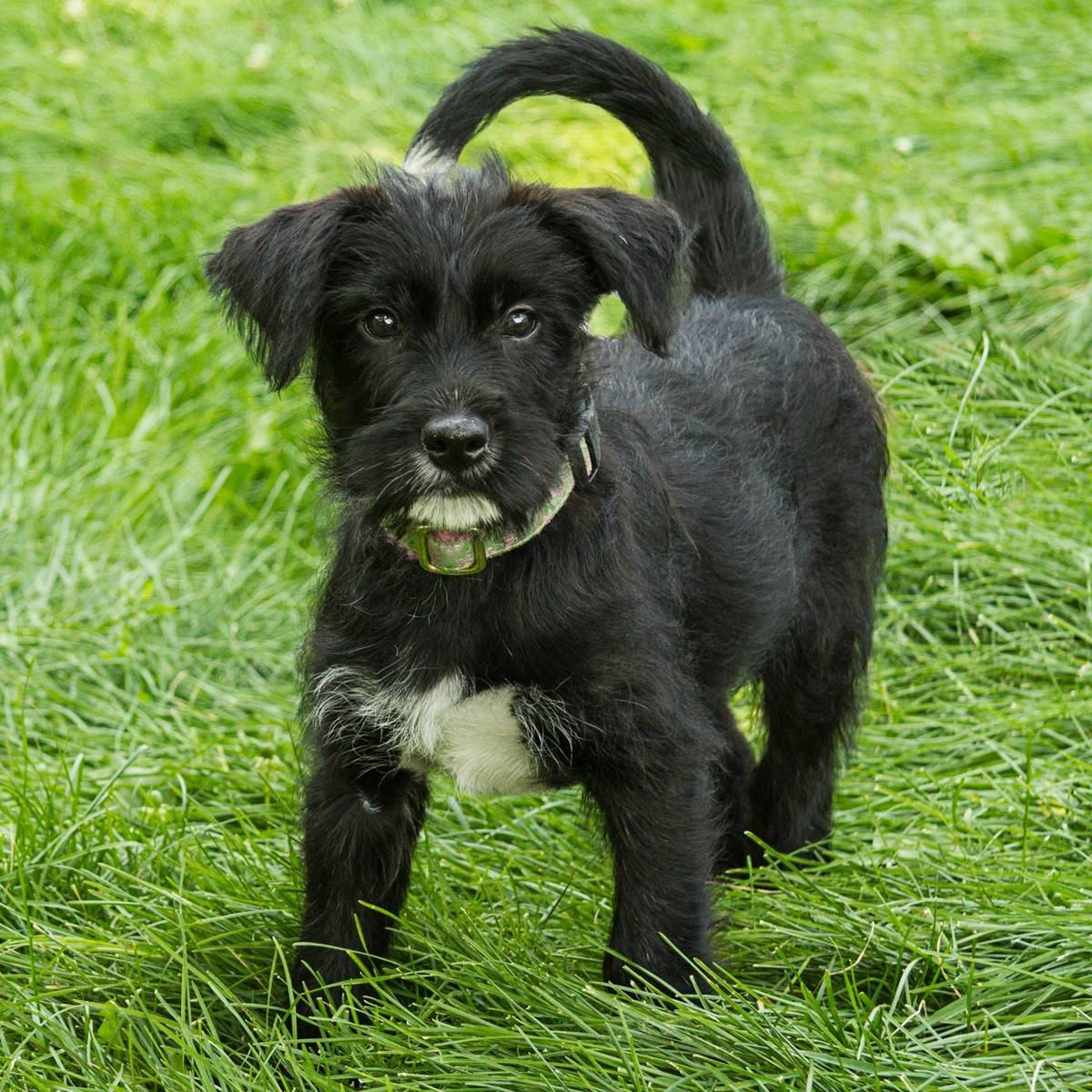 Gabby, a 4-month old Schnauzer/terrier mix, weighs about 12 pounds.