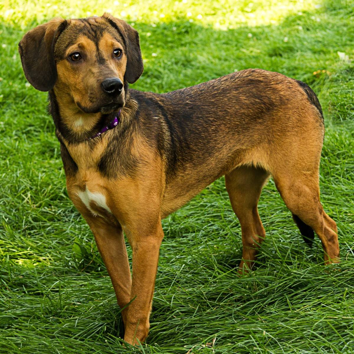 Ivy, a hound mix, is about 7 months old and weighs 33 pounds.