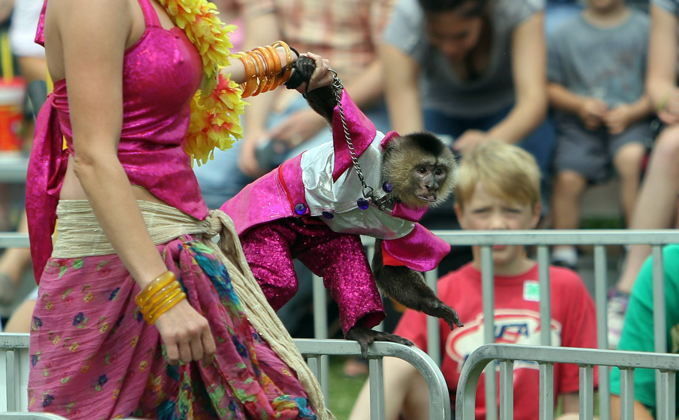 Gilligan, a capuchin monkey, is introduced during the Banana Derby.