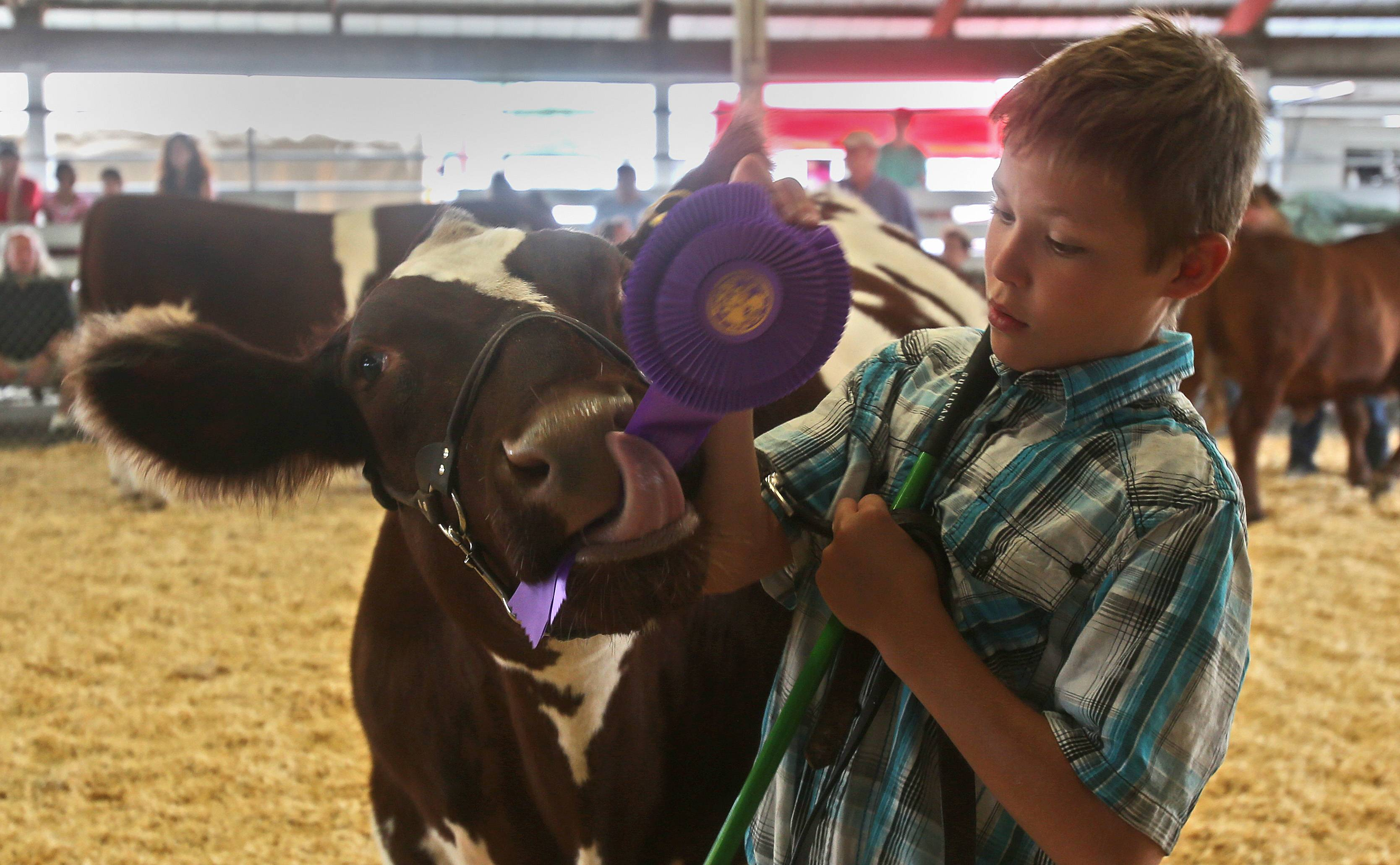 Chase Engel of Genoa wins the Grand Champion Steer open show contest Friday during beef cattle judging at the DuPage County Fair. His steer enjoys chewing on the first place ribbon.