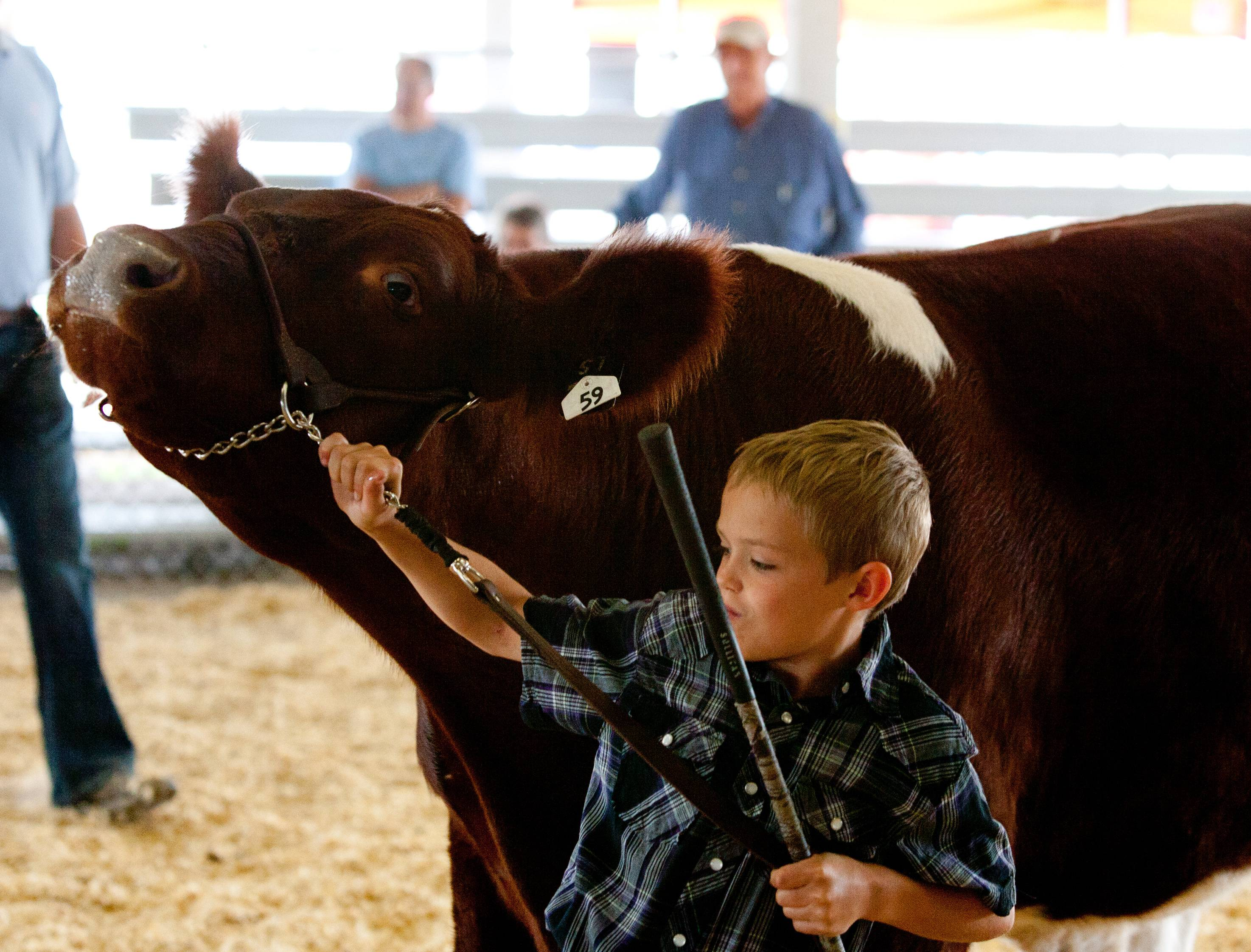 Brody Engel of Genoa keeps control of his heavyweight shorthorn steer during beef cattle judging at the DuPage County Fair.