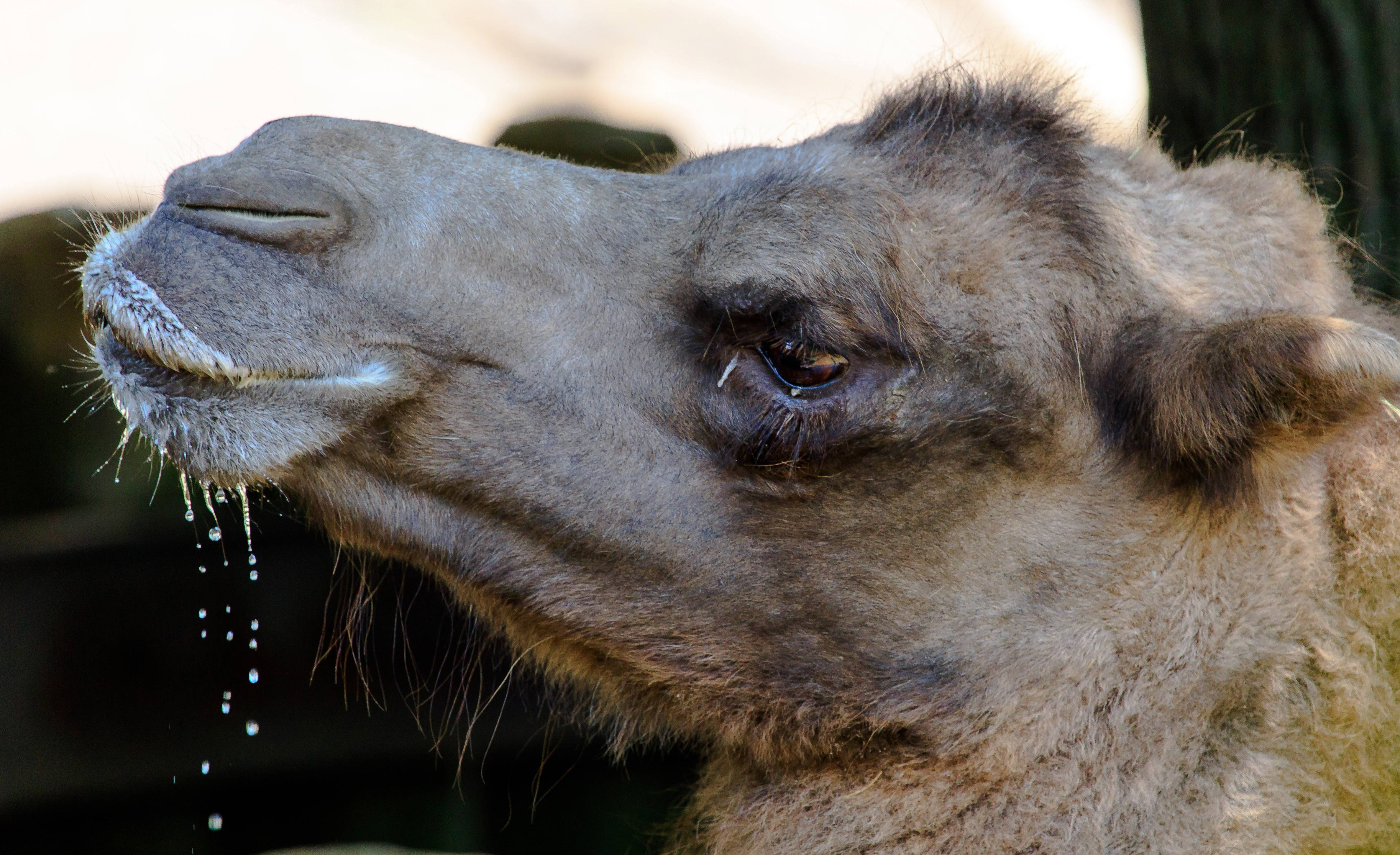 A camel at the Lincoln Park Zoo in Chicago finishes drinking some water on July 17.