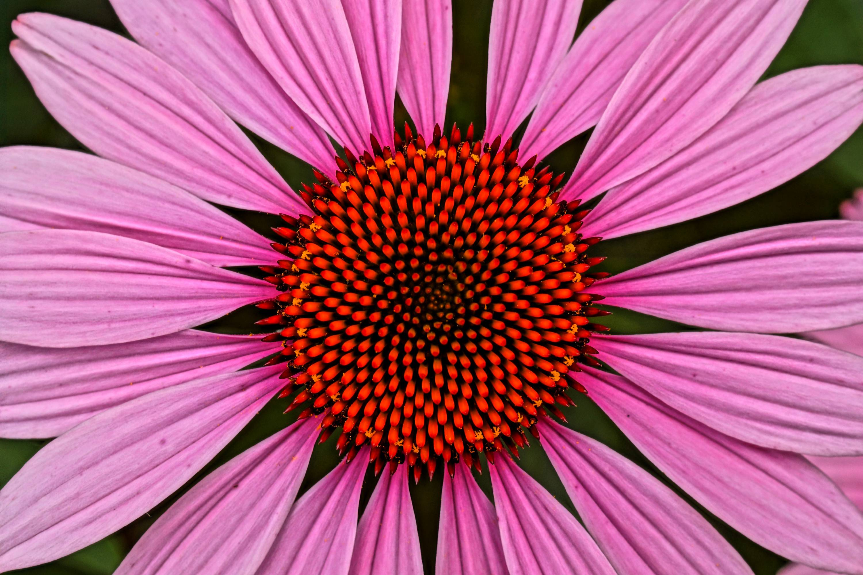 I photographed this flower on a trip to Cantigny Park in Wheaton. This cone flower explodes with radiating orange and pink colors. The variety of nature's patterns is amazing!