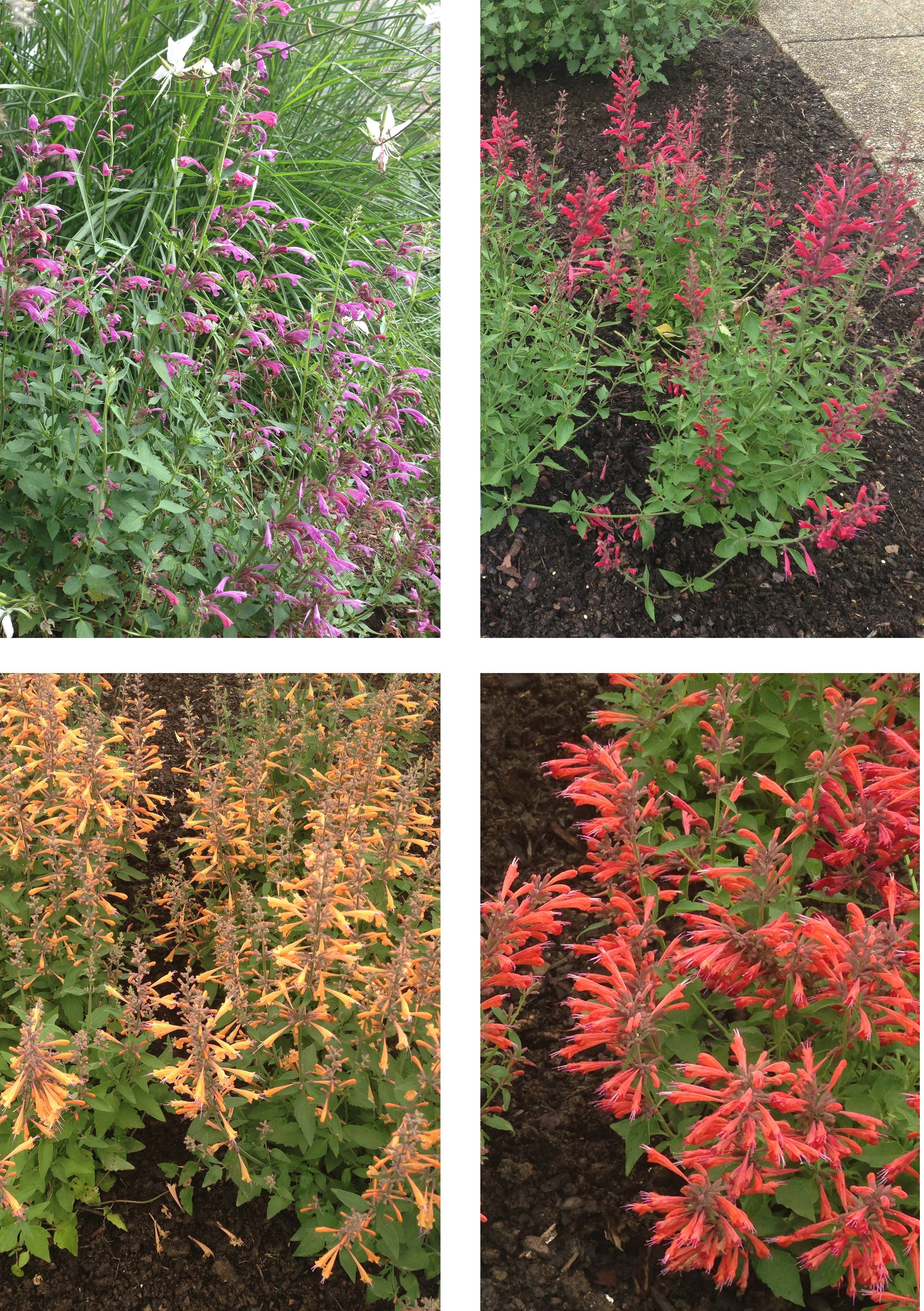 Clockwise, from top left: agastache varieties Grape Nectar, Raspberry Nextar, Orange Nectar and Apricot Nectar. Given a hot sunny site, they will bloom until fall.