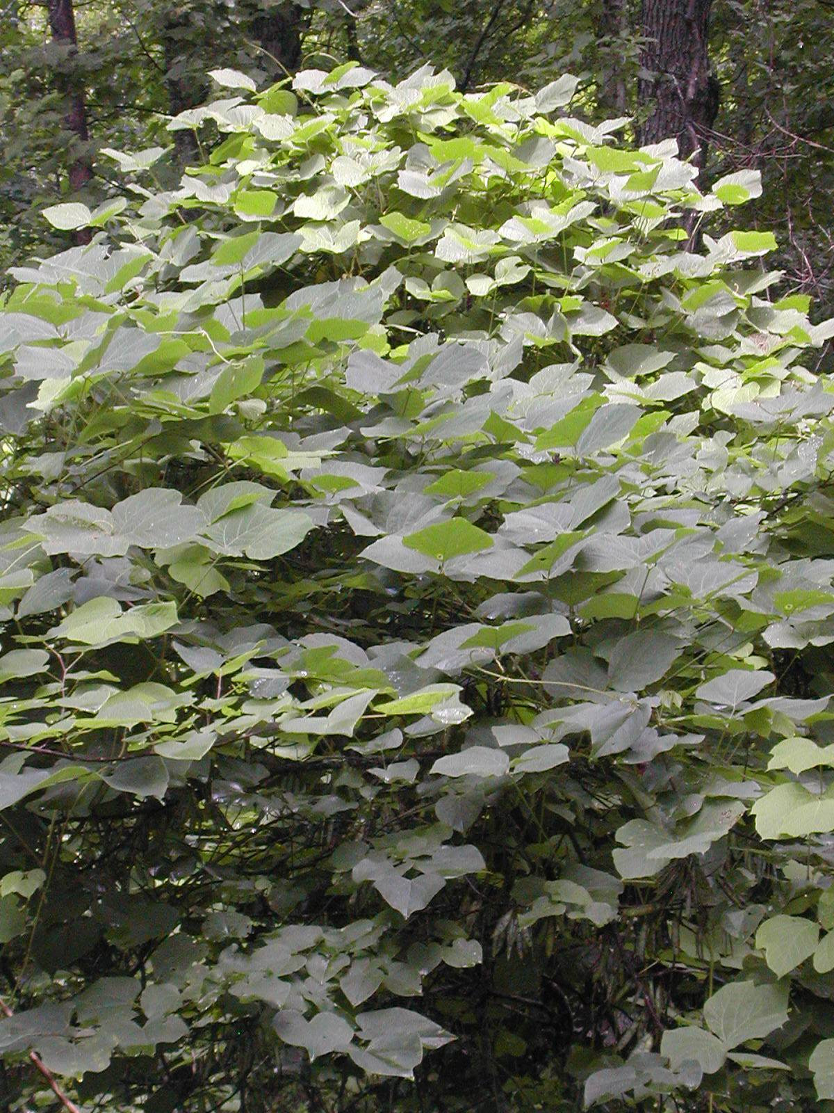 "A curtain of kudzu covers a tree in Cumberland Gap National Historic Park outside Middlesboro, Ky. The kudzu vine was promoted by the federal government in the 1930's for erosion control and for providing shade, hence the name ""porch plant."" It's a vigorous perennial, capable of growing 60 to 100 feet per season. It soon lost favor around the South, where it grew out of control -- covering trees, buildings and yards. The U.S. Department of Agriculture declared it a pest weed in 1953."