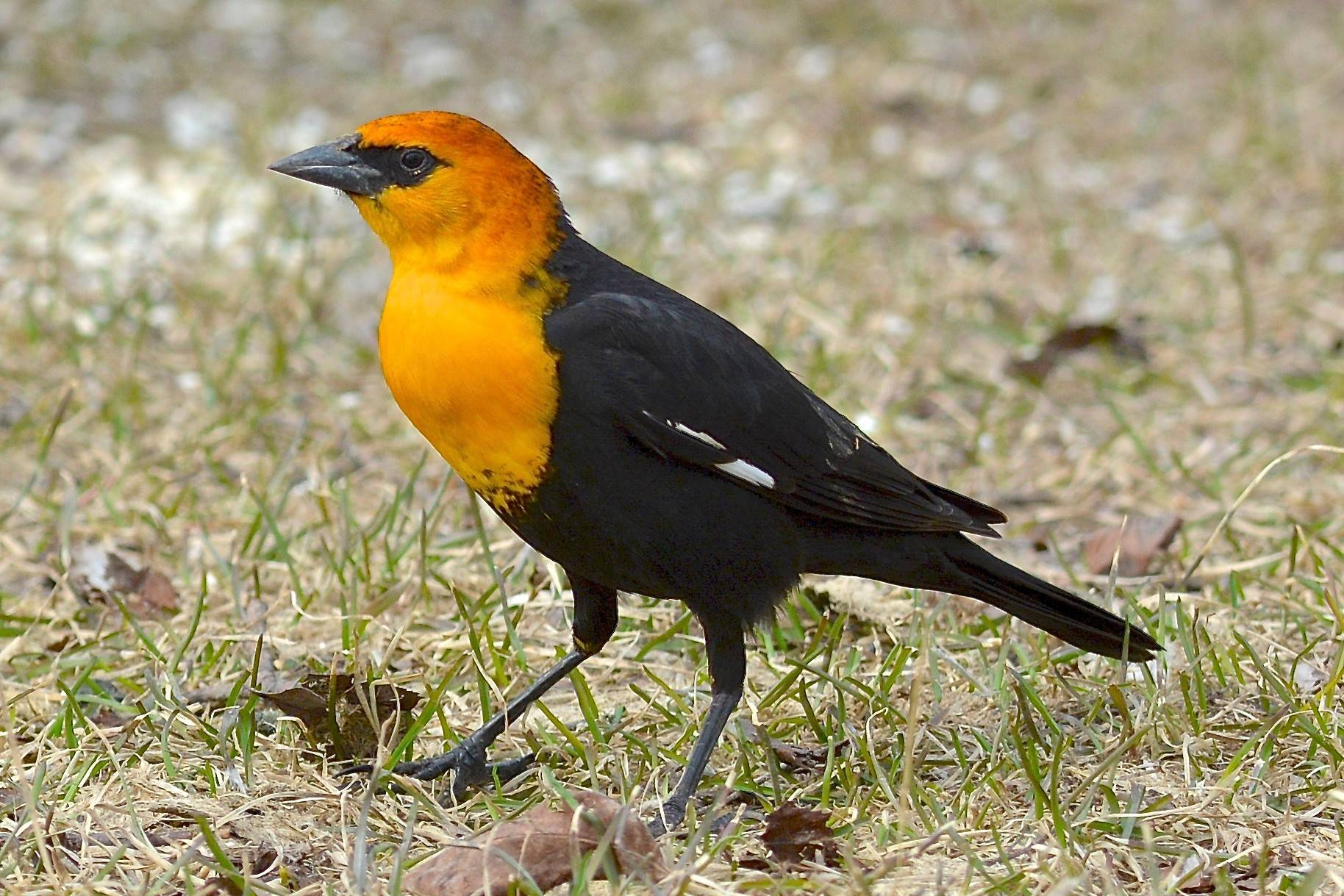 Yellow-headed blackbird, a wetland species rarely spotted in DuPage, appears to be thriving at Hackmatack National Wildlife Refuge.