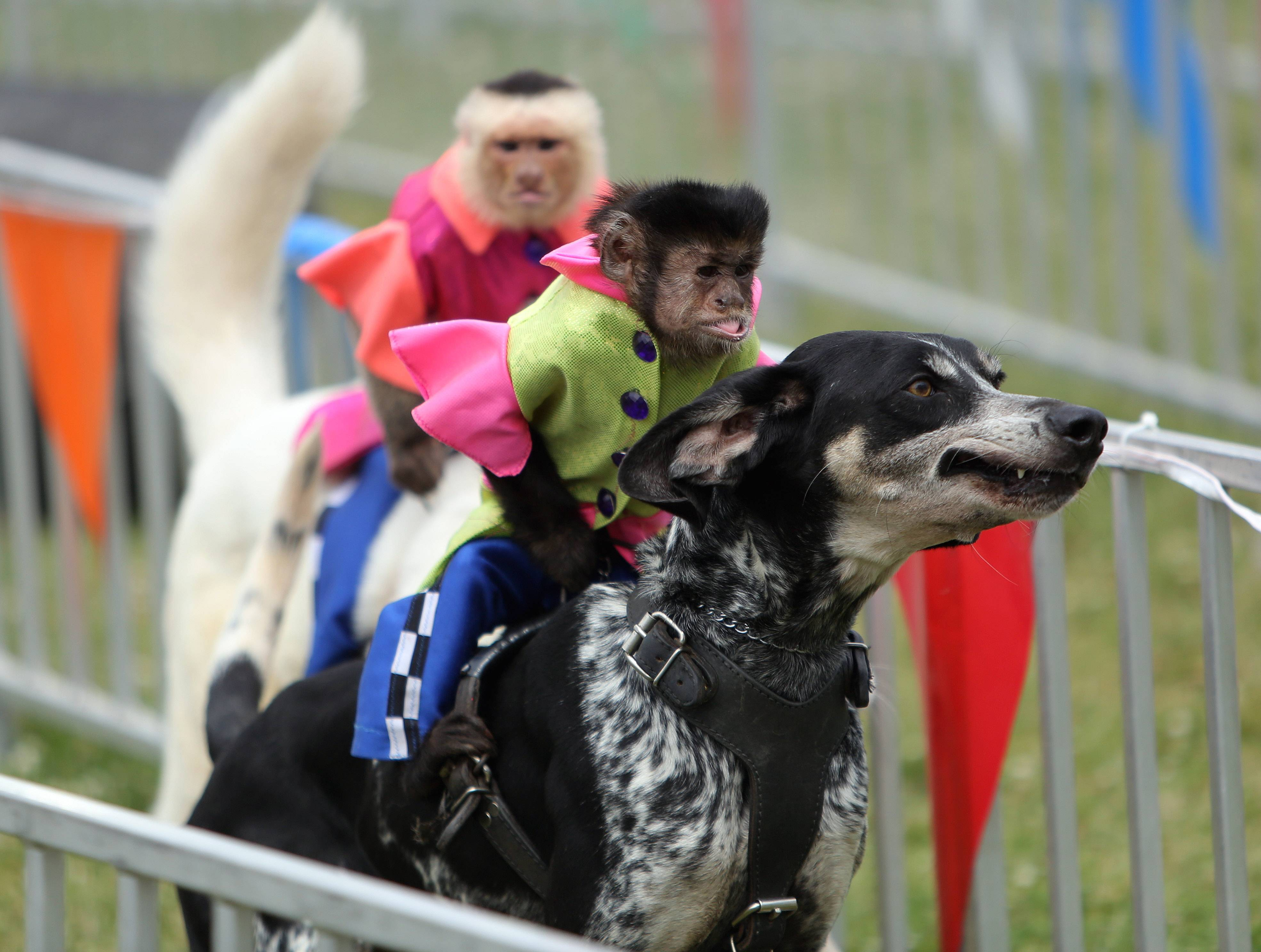 Burt, right, a capuchin monkey, rides Sccoby Blue, as Bobo rides Sasha, during the Banana Derby Friday at the Lake County Fair in Grayslake.
