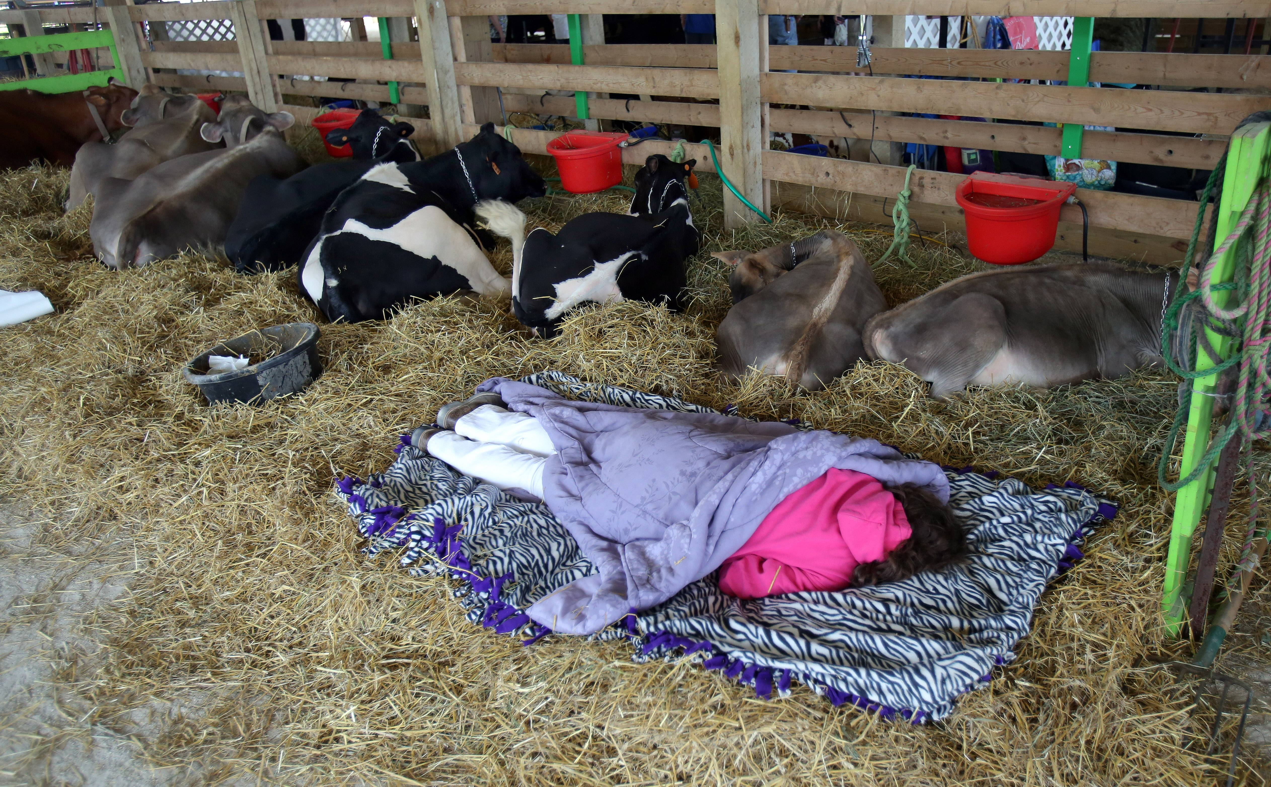 Marlena Streffenhagen, of Rockford, sleeps with her cows Friday at the Lake County Fair in Grayslake.