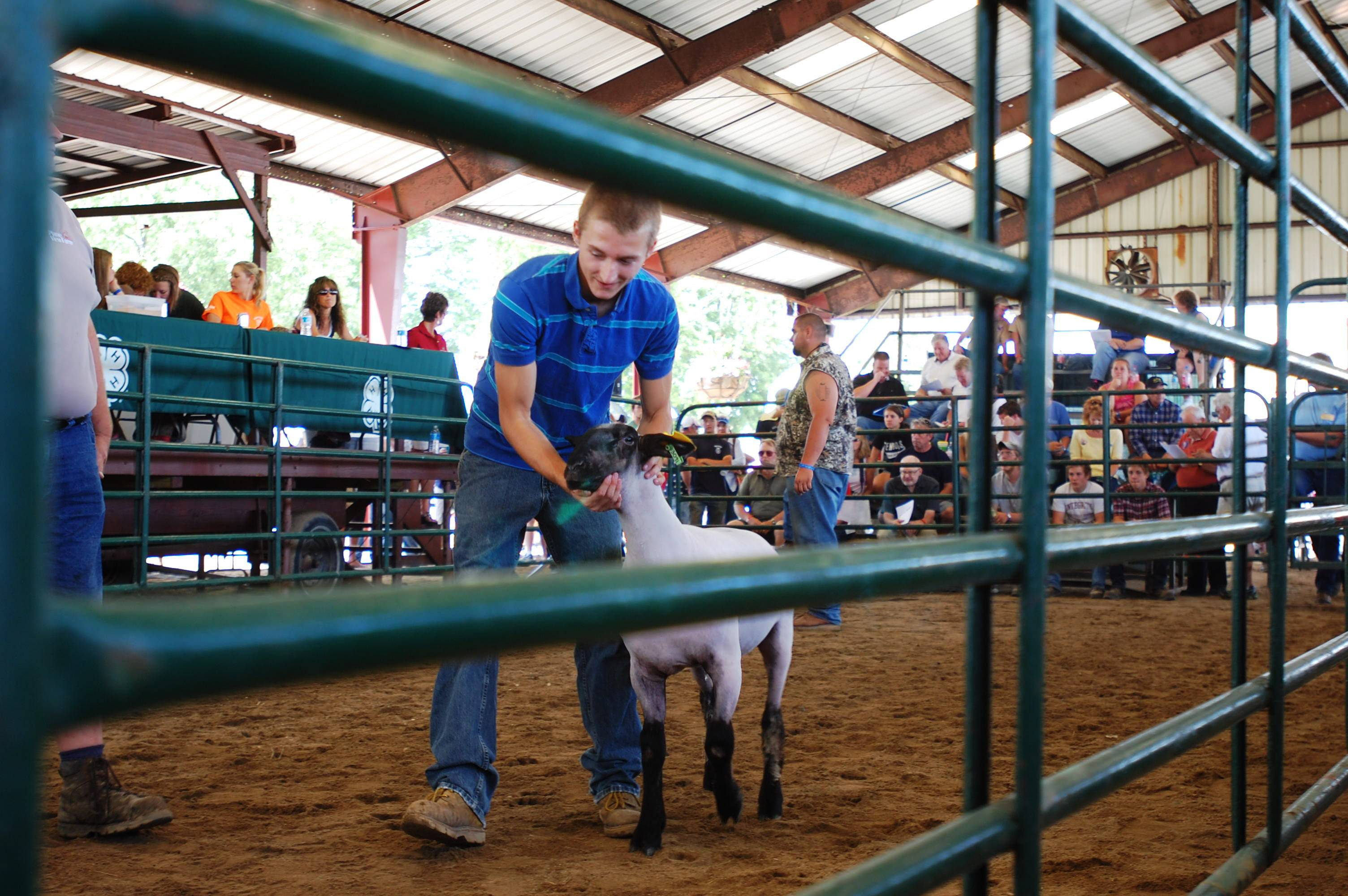 Bryce Laylor, 17, of Hebron shows his sheep in the 4-H livestock auction on Saturday, August 3 at the McHenry County Fair in Woodstock.