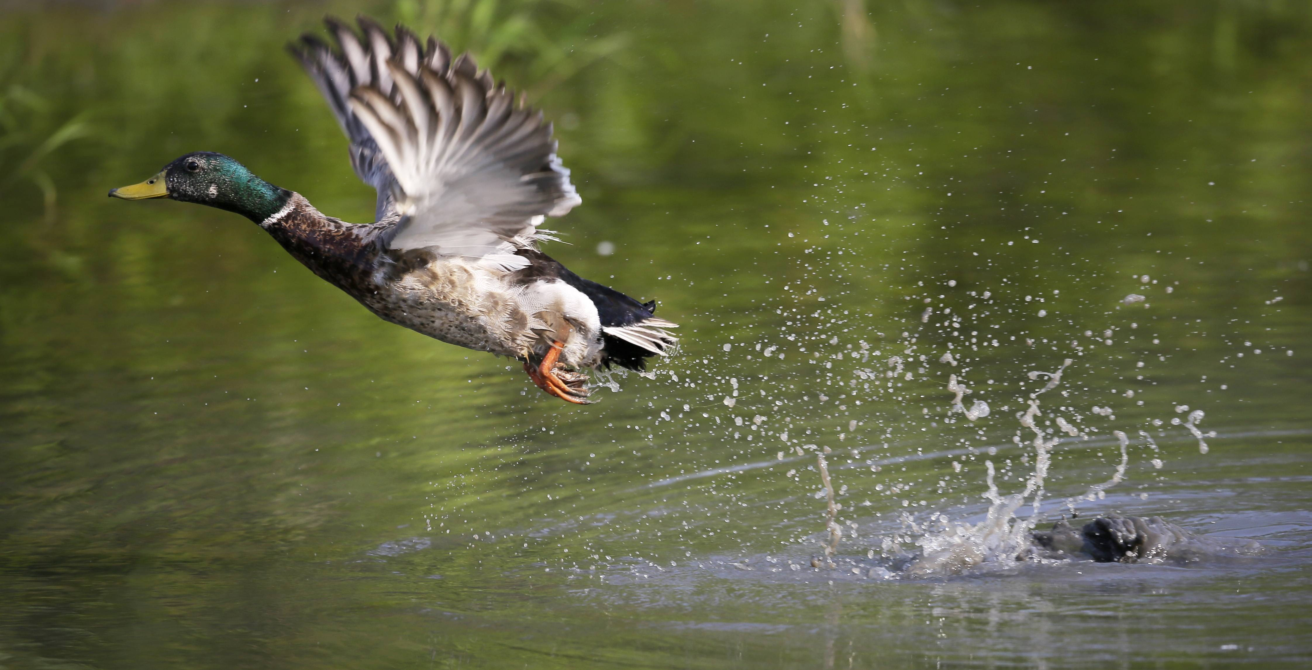 A mallard duck takes flight after feeding in a pond at Water Works Park in Des Moines, Iowa.