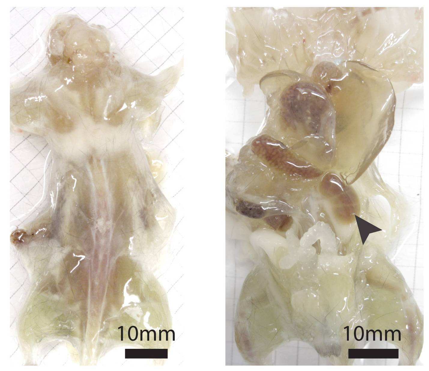 This undated photo combo provided by the journal Cell and taken with a bright field camera, shows a mouse with its skin removed during various stages of examination. Researchers have found a way to make see-through mice and rats, a step that should help them study fine details of anatomy for basic research. The left image shows the mouse with the skin removed. The right image shows the mouse after one week of the process.