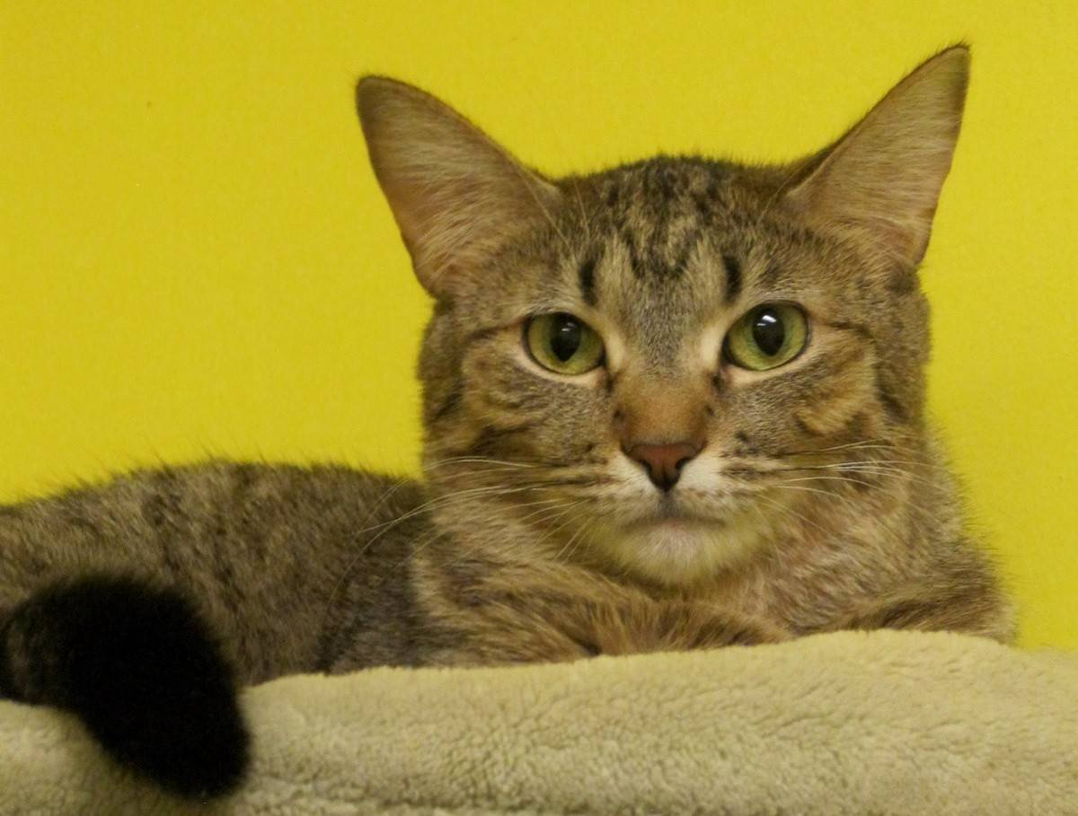 Joy is a brown tabby female with green eyes. She is shy at first, but loves humans.