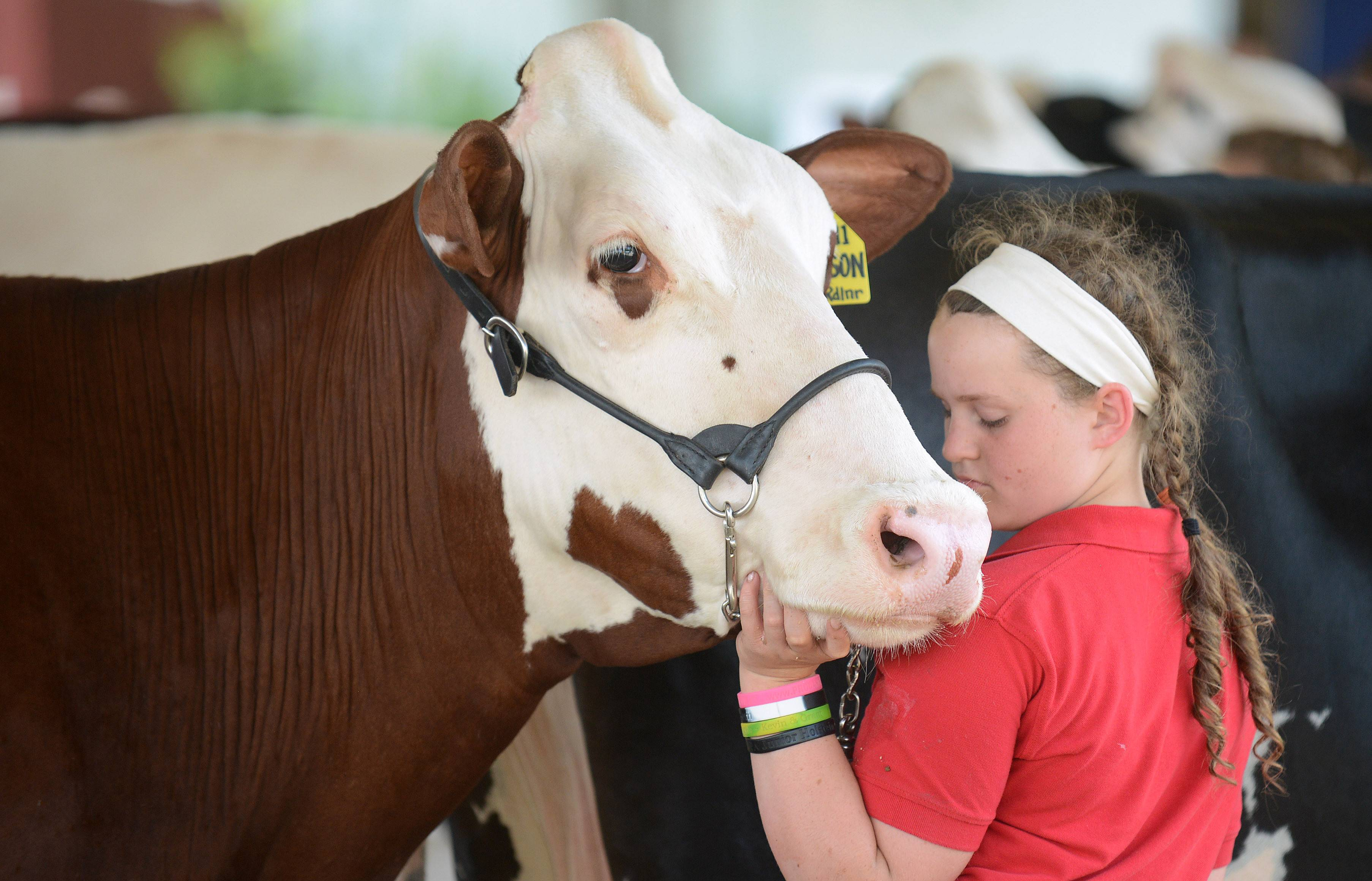 Emily Sheehan, 13, of Huntley shows Alyson, a 2-year-old 1,200-pound red and white Holstein in the Jr. Champion Class Friday at the McHenry County Fair. Emily was showing with her 4-H club, the Huntley Heartlanders.