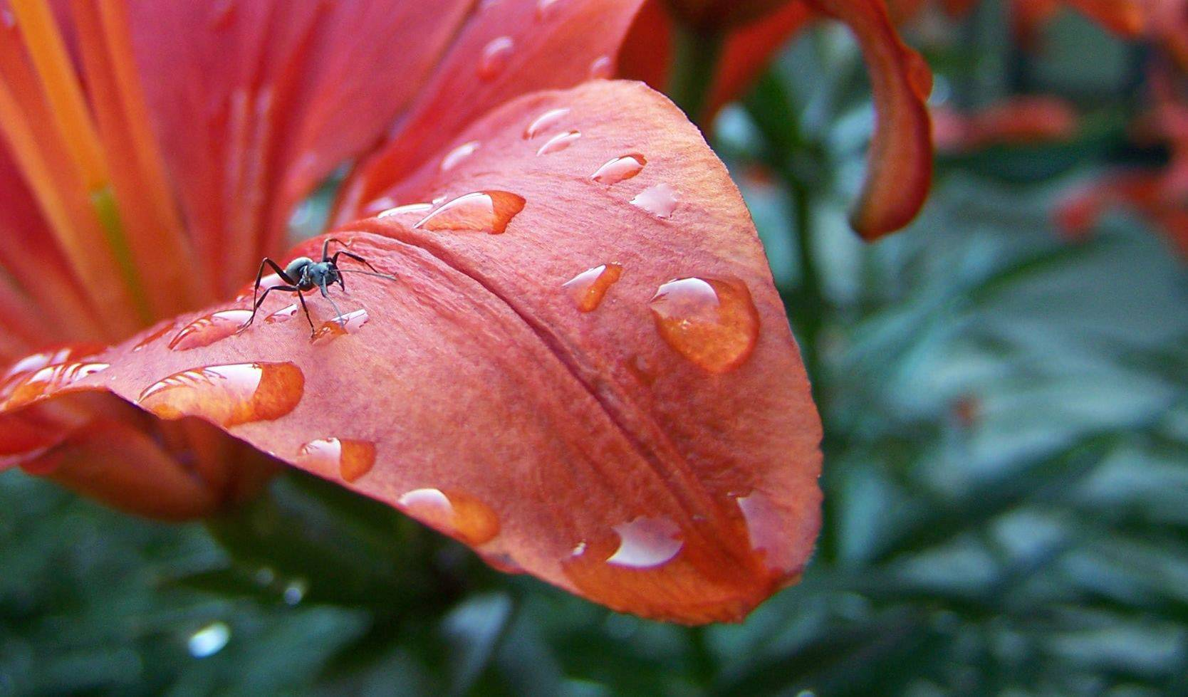 An ant walks on a red flower in an Elk Grove yard after it was covered in dew drops.