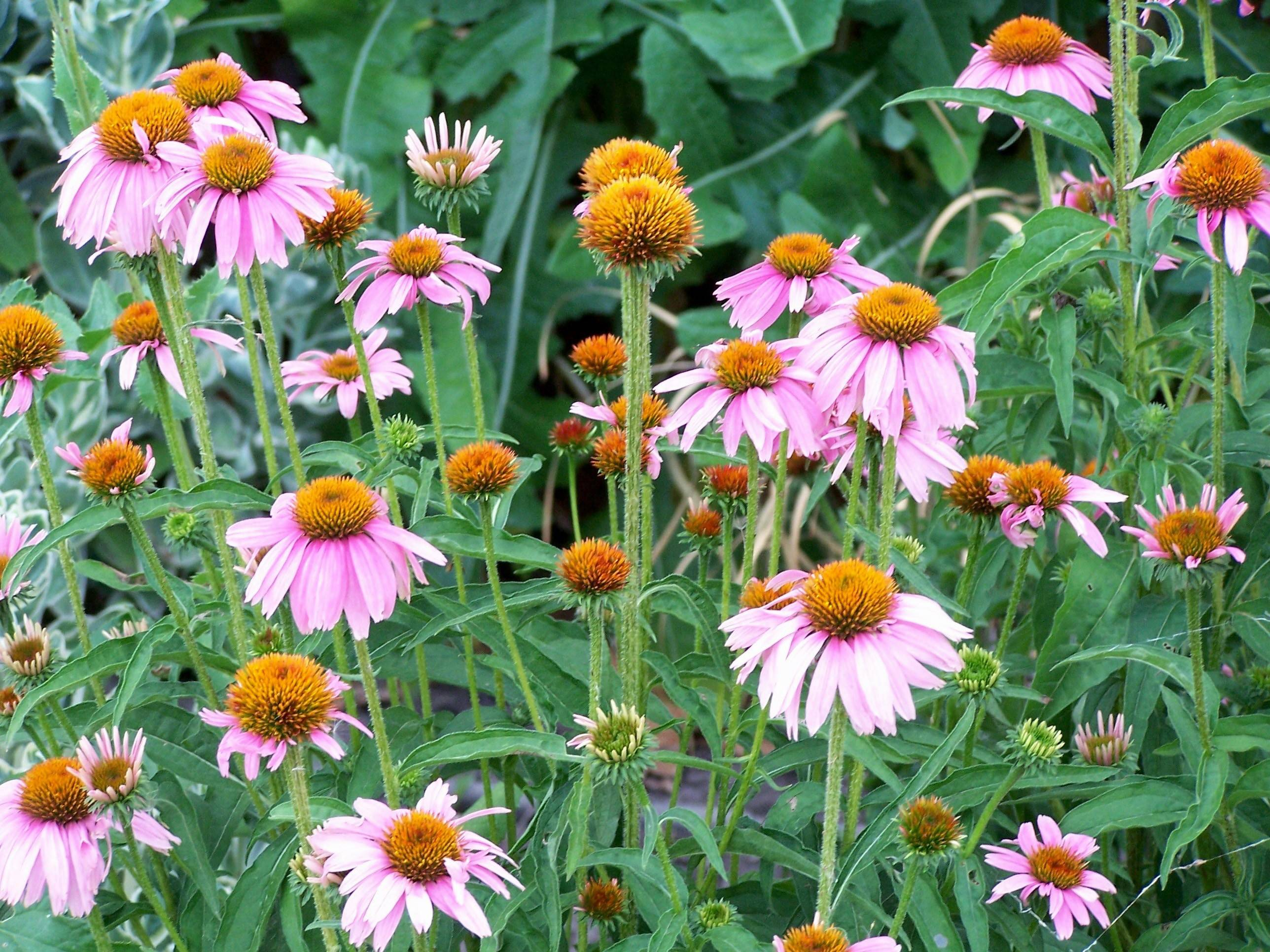 Butterflies and bees enjoy Magnus coneflowers as much as gardeners do.