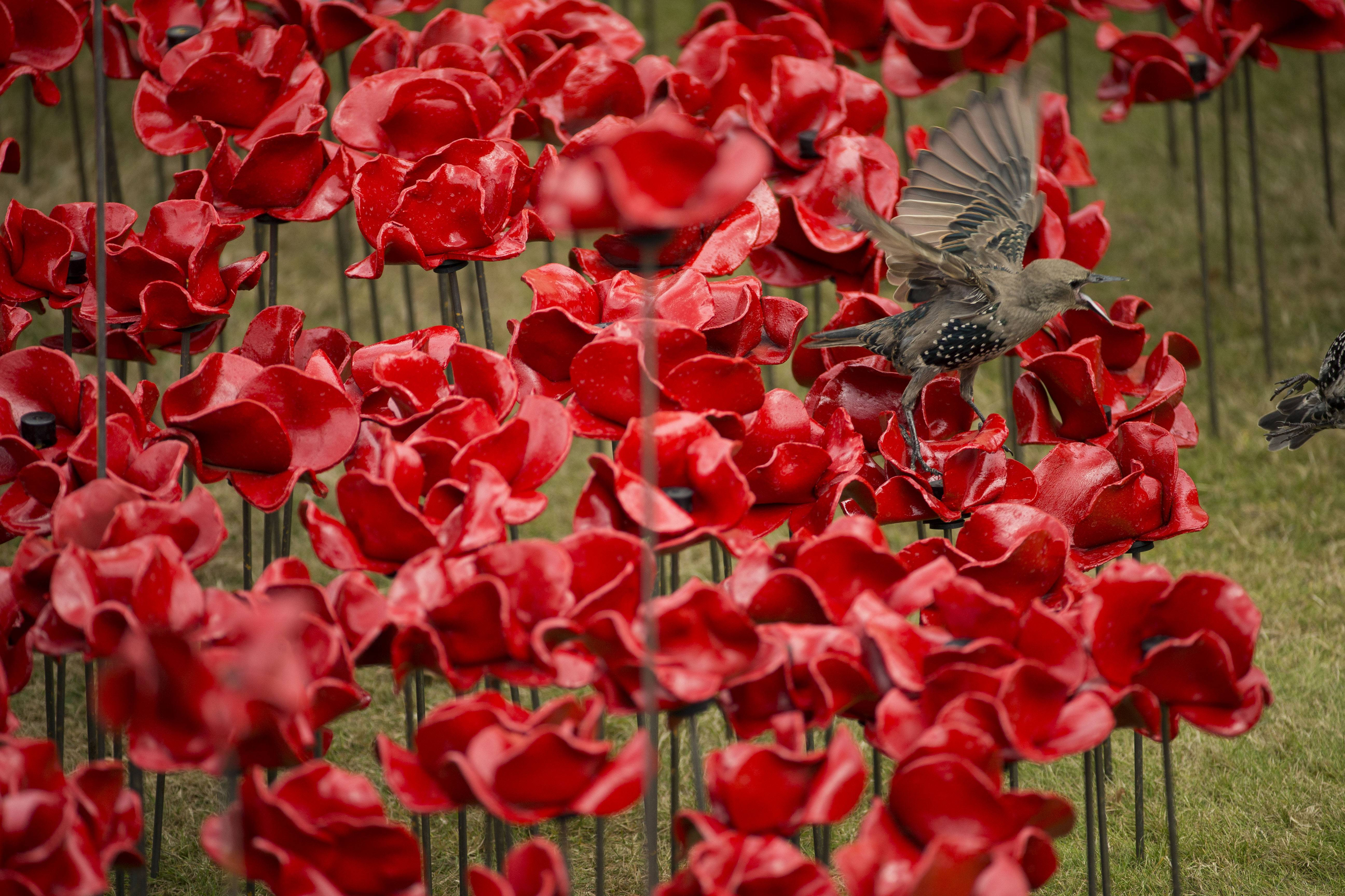 A bird squawks at another on the ceramic poppy art installation by artist Paul Cummins entitled 'Blood Swept Lands and Seas of Red.'