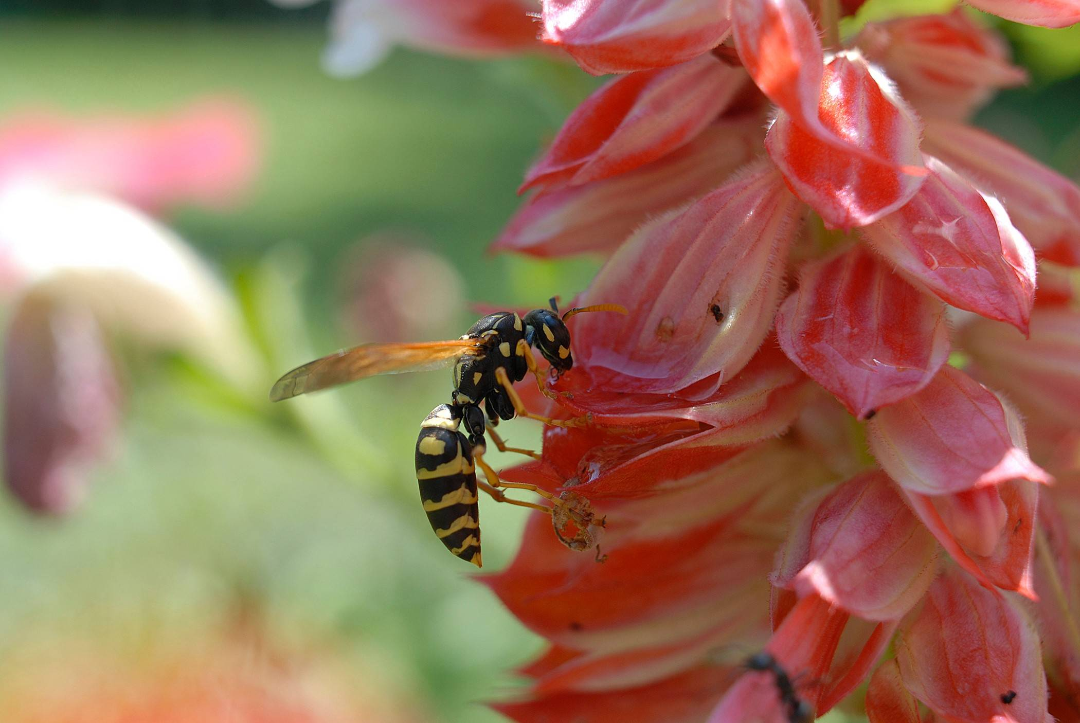Yellowjackets are attracted to sweet things, so practice good sanitation techniques at picnics and barbecues.