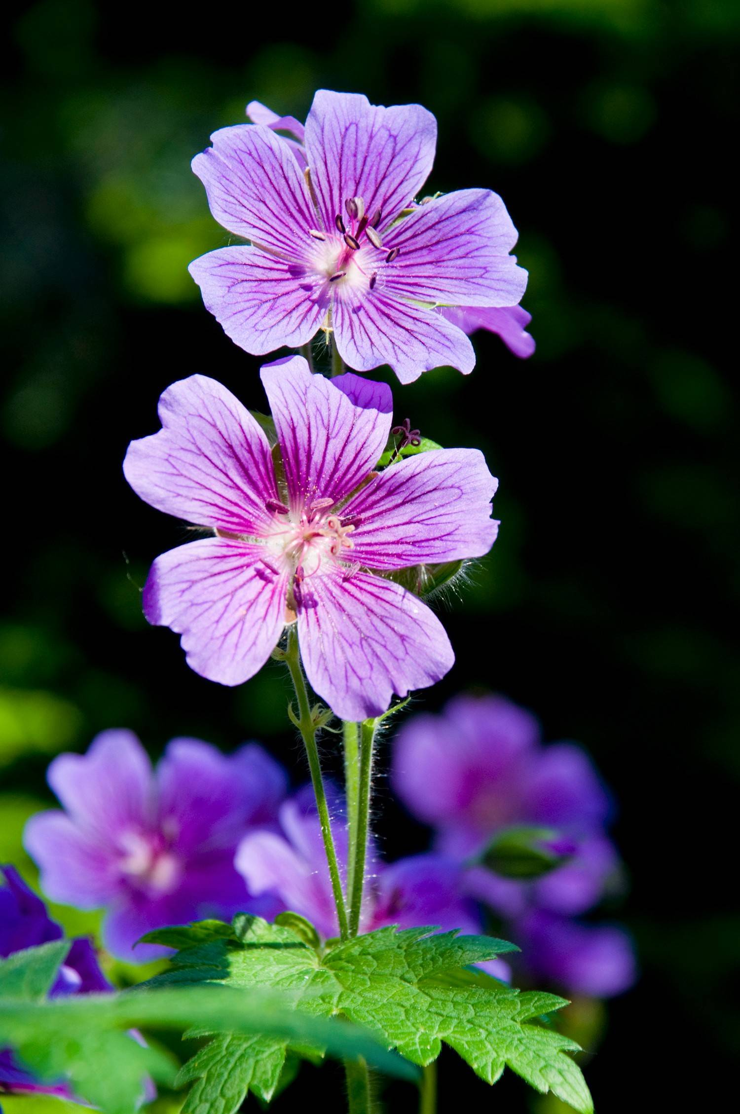 Keep cuttings of annuals, such as this geranium, in bright light with moist soil.