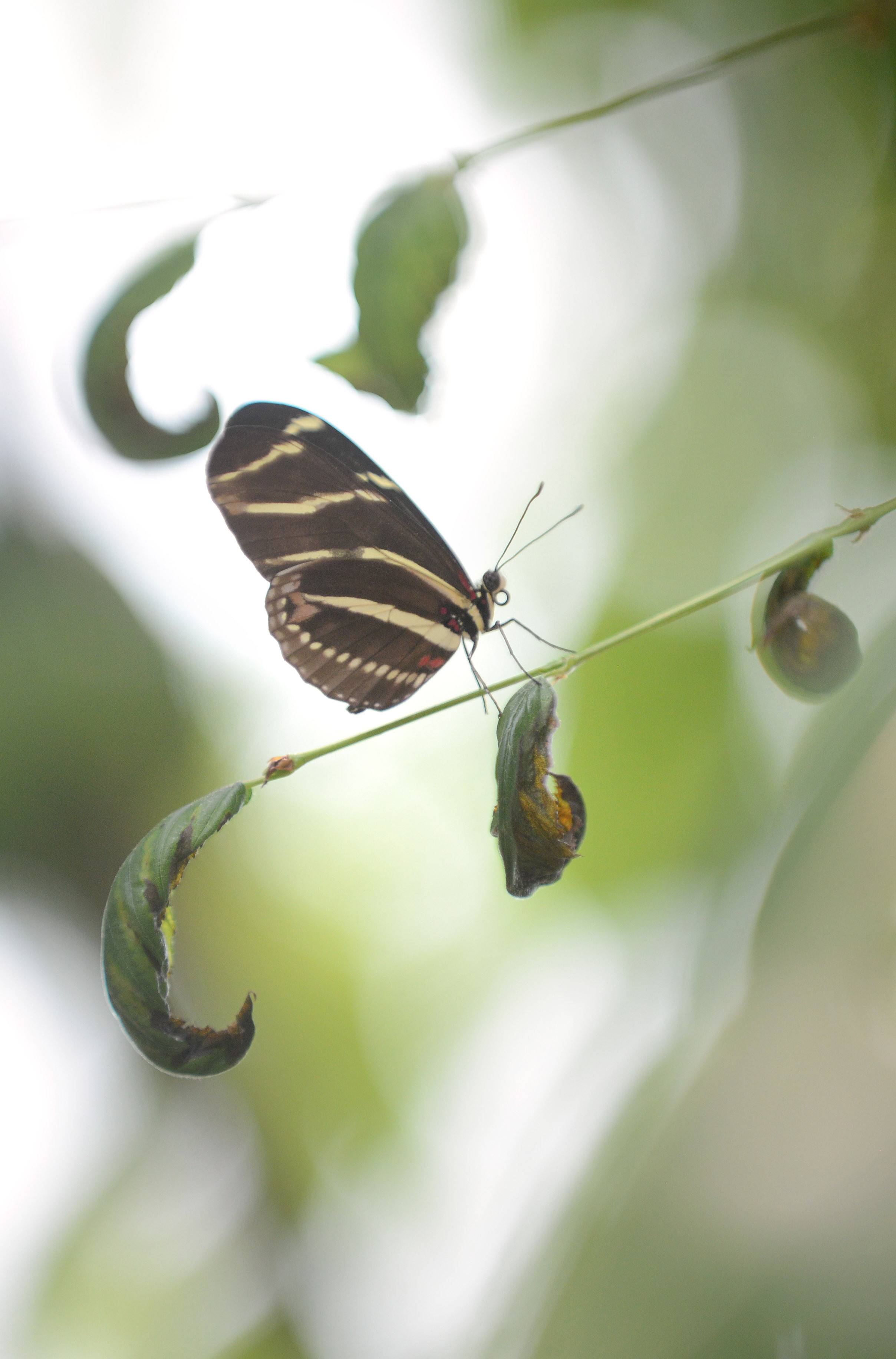 A Zebra butterfly perches in a tree at Peck Farm Park's Butterfly House in Geneva Wednesday.