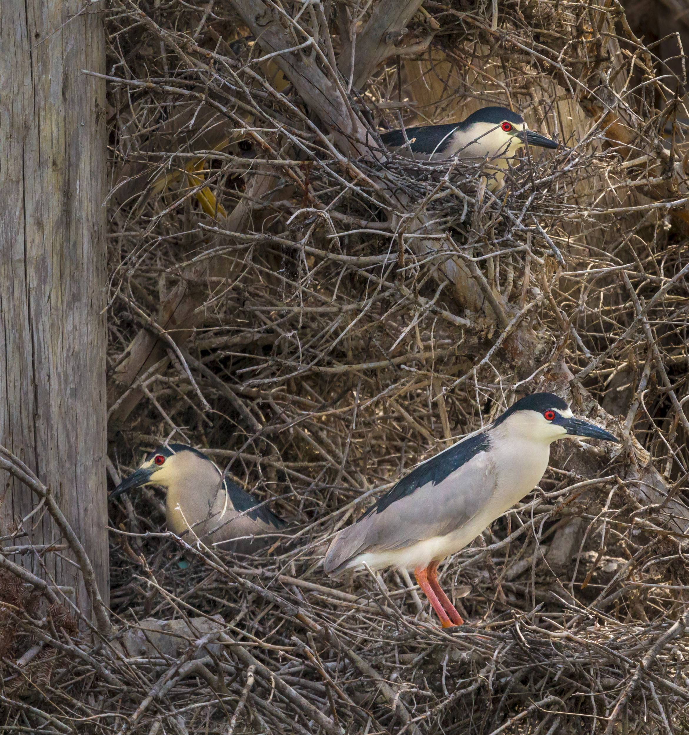 Four Black-crowned Night Heron nests were observed during the nesting count. These timid herons find safe homes in cut out areas of the Christmas trees along the shoreline.