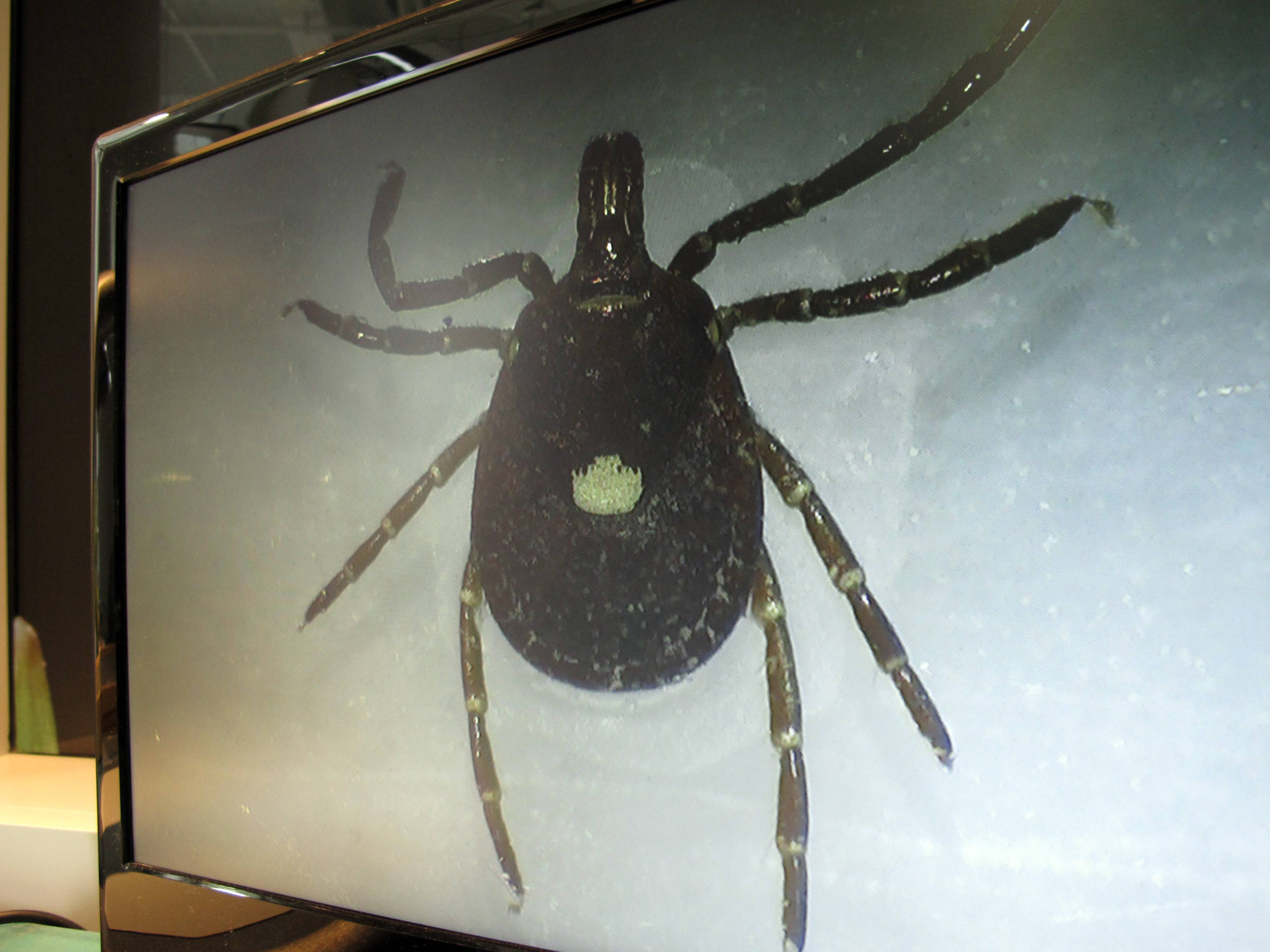 In this July 31, 2014 photo, a lone star tick is displayed on a monitor in a lab at the North Carolina Museum of Natural Sciences, in Raleigh, N.C. Doctors across the nation are seeing a surge of sudden meat allergies in longtime carnivores who were bitten by Lone Star ticks, which are found in the Southwest and eastern half of the U.S.