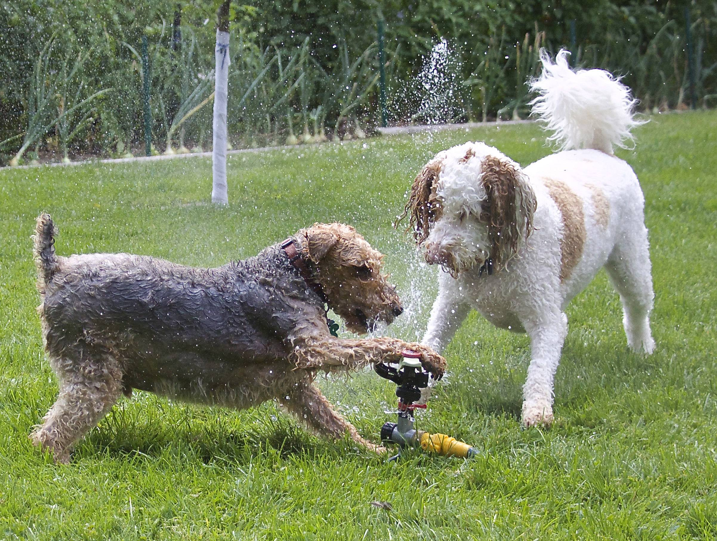 Two dogs, Winston and Jasper, play with a sprinkler while cooling off on a hot summer day.