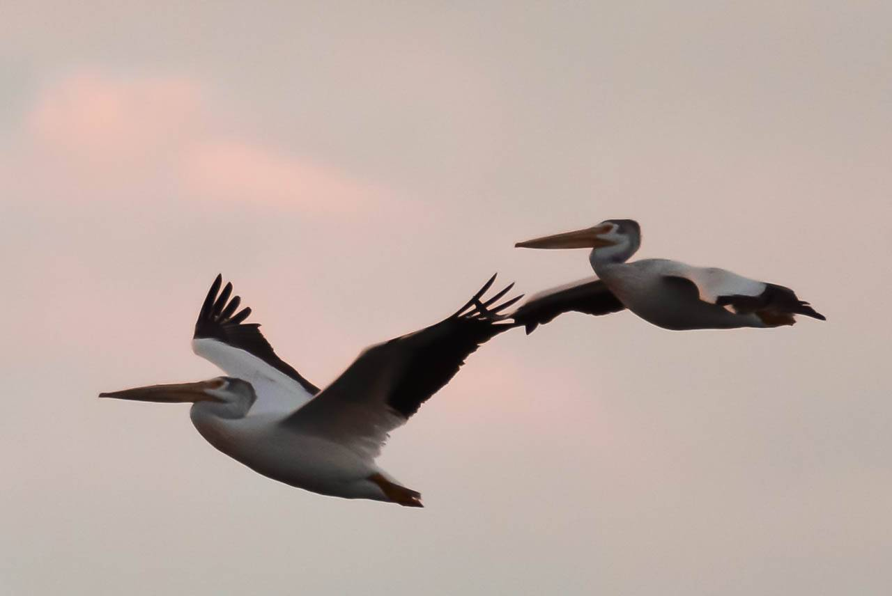I took this photo of these huge American White Pelicans on our vacation to Door County, Wisconsin. The camera fortunately caught the dark plumage of the first one's wings even though it was late in the evening around sunset. They were very majestic birds, and quite large.