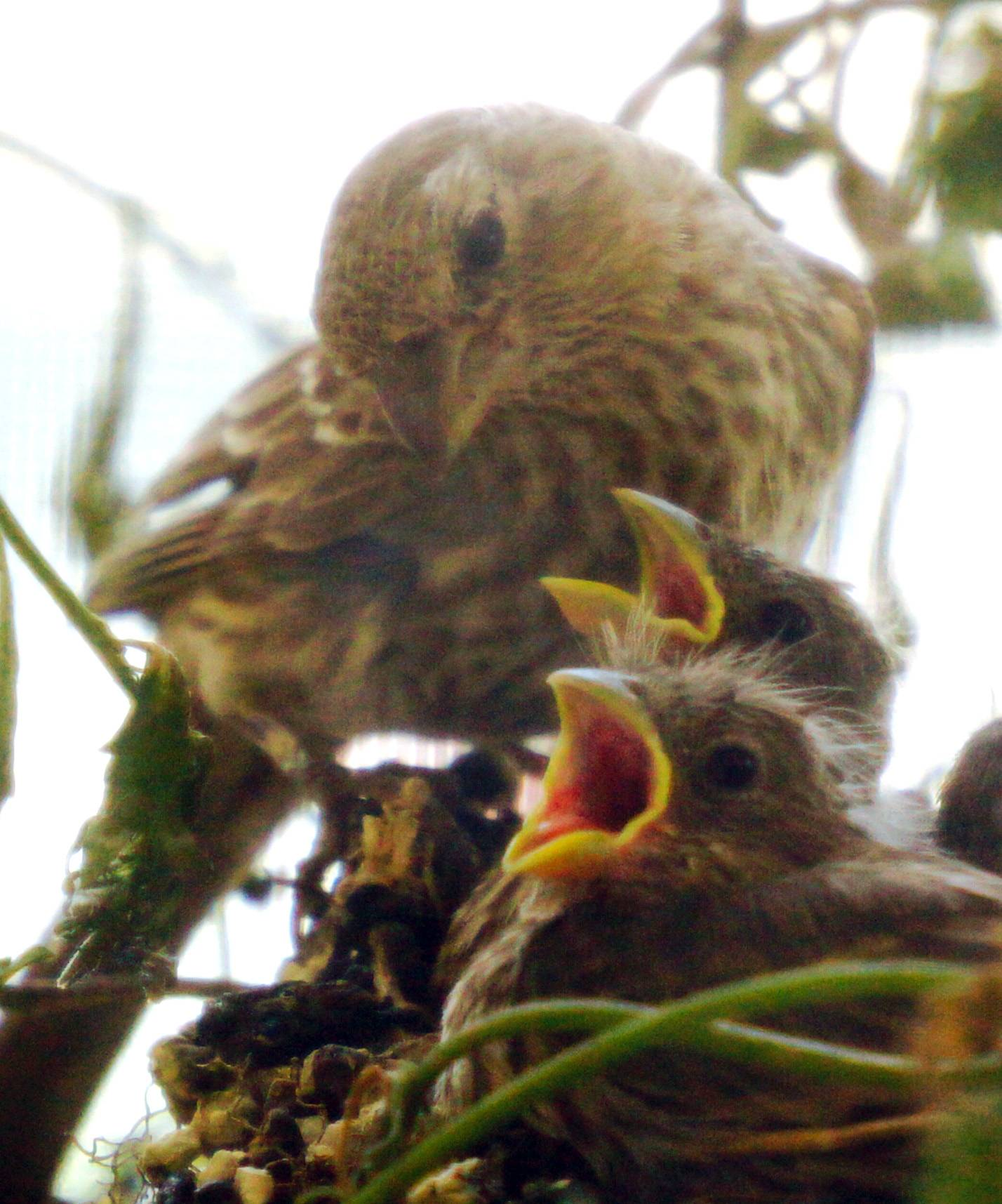 I took this photo of a family of house finches that took up residence in a hanging planter on our front porch this summer. Here the mother feeds her hungry babies.