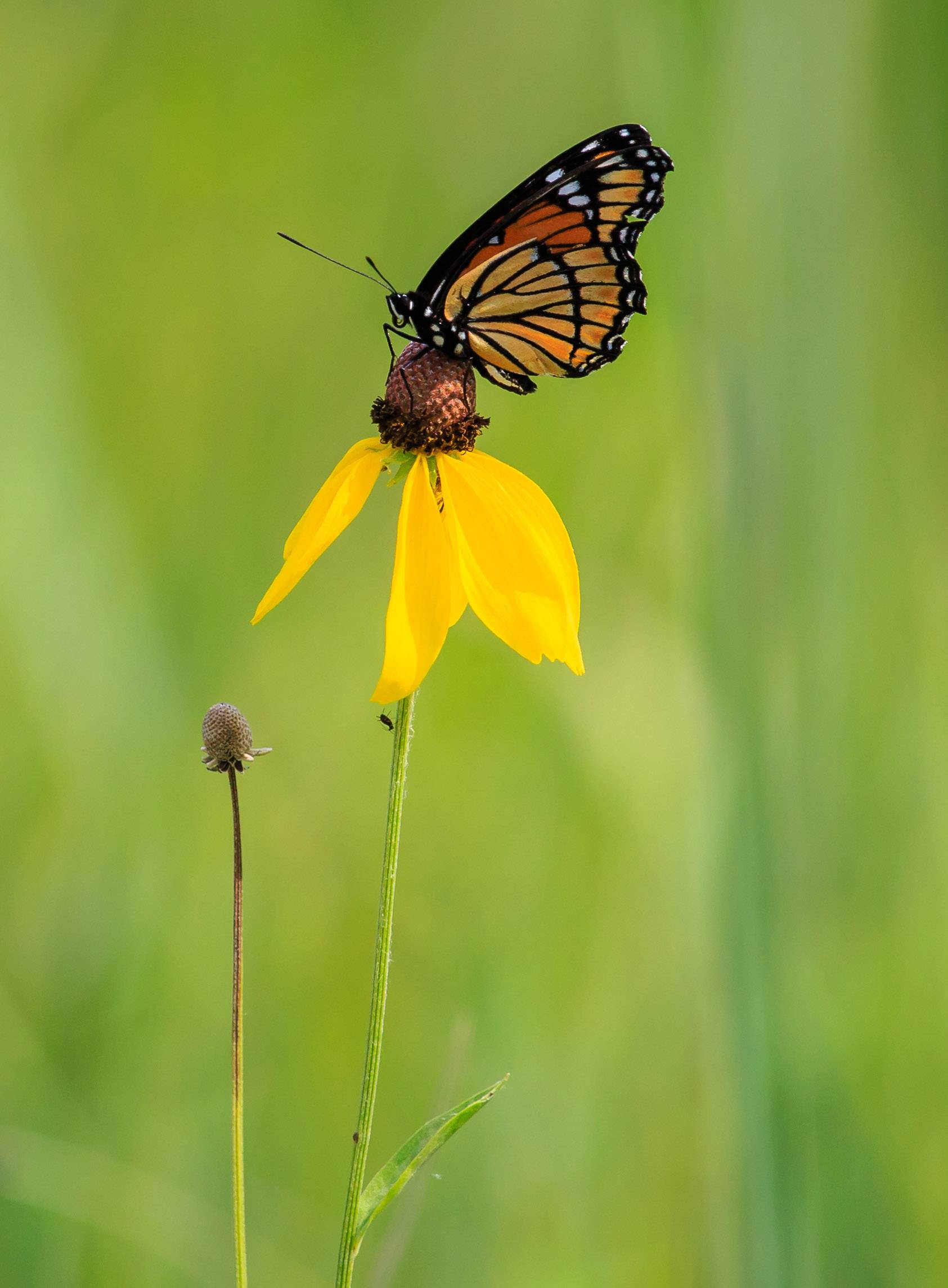 A Monarch butterfly sits on a wildflower in the Grant Woods Forest Preserve in Ingleside on June 29.