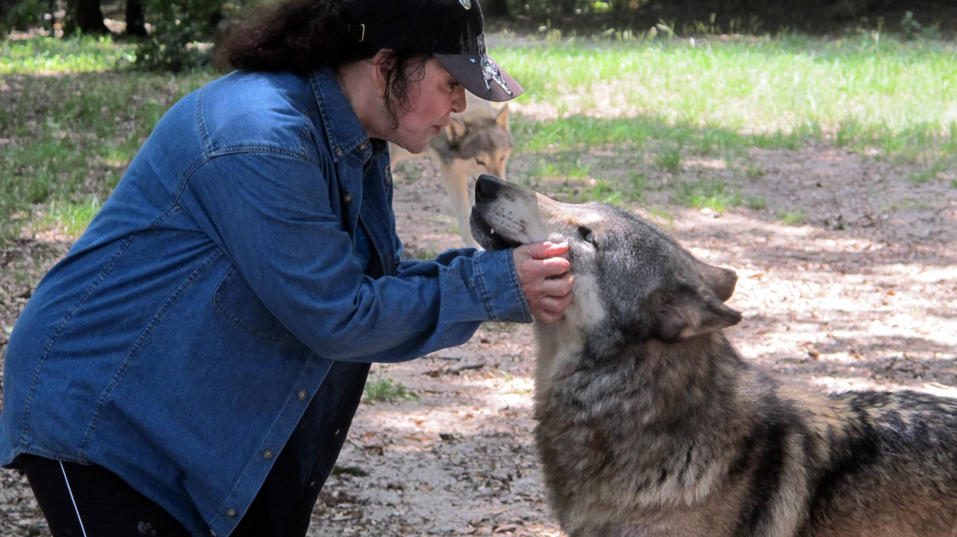 Founder Cynthia Watkins kisses a wolf inside the Seacrest Wolf Preserve in Chipley, Florida. The 450-acre preserve is home to 30 gray, Arctic and British Columbian wolves. It is the largest wolf preserve in the Southeastern United States.