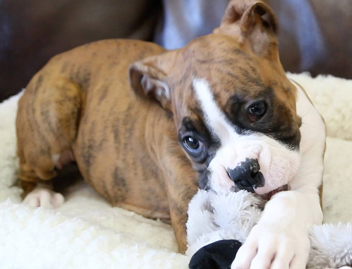 A three-month-old female boxer puppy named Precious was stolen from the Petland store in Naperville, according to the store's owner.