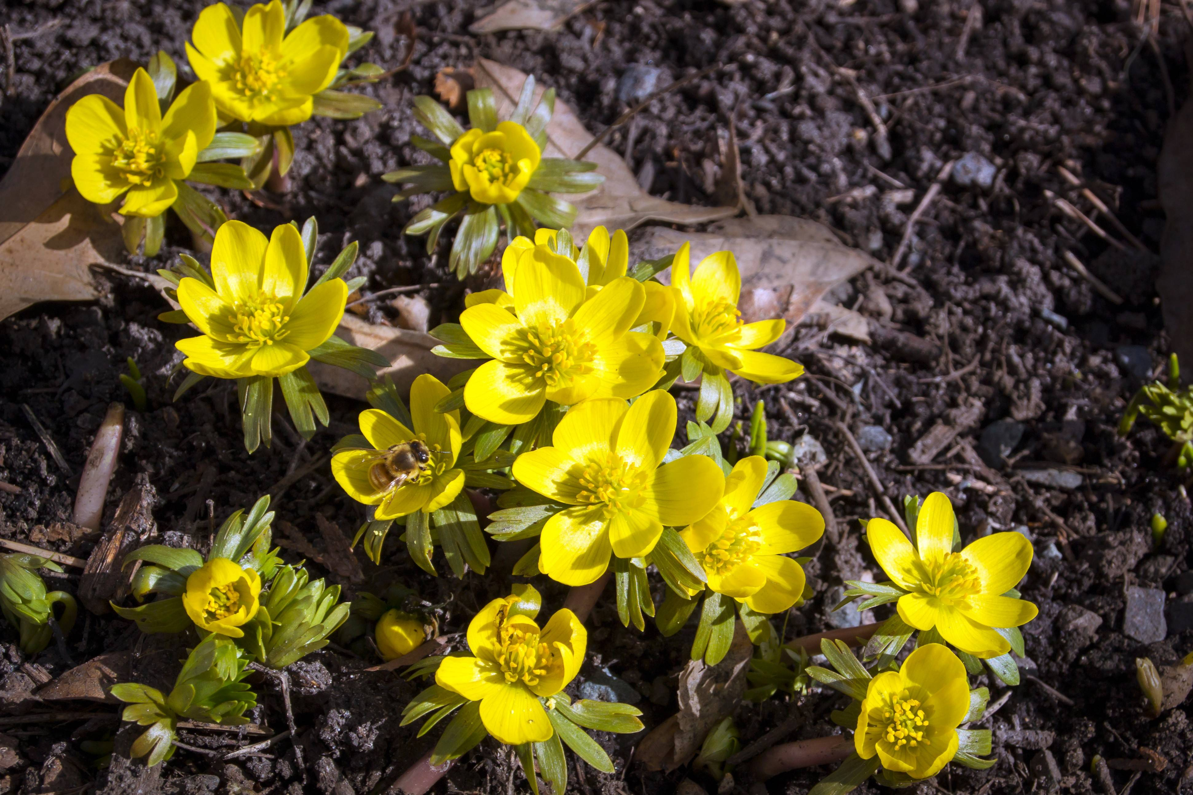 If deer and rabbits are a problem, choose bulbs that are less attractive to them, such as this winter aconite.