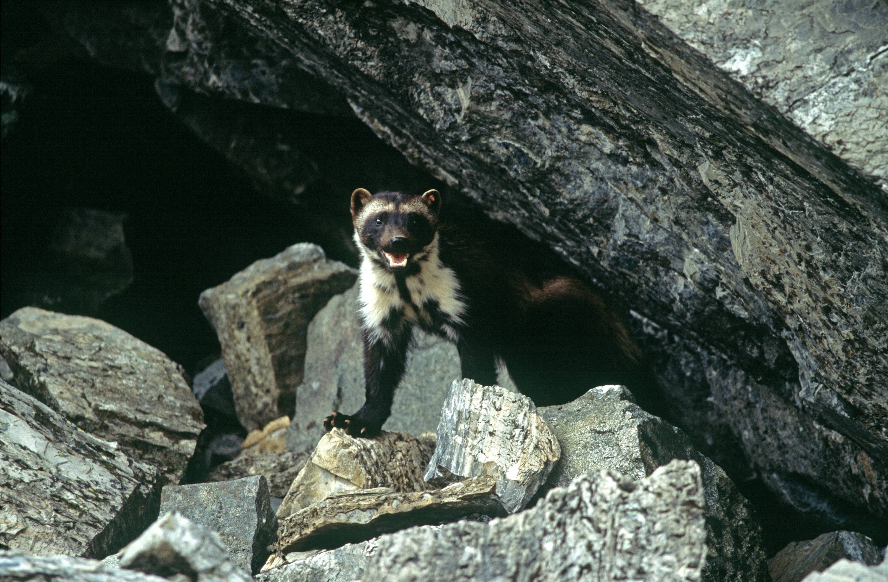 This undated photo provided by Defenders Of Wildlife shows a wolverine that had been tagged for research purposes in Glacier National Park, Mont.