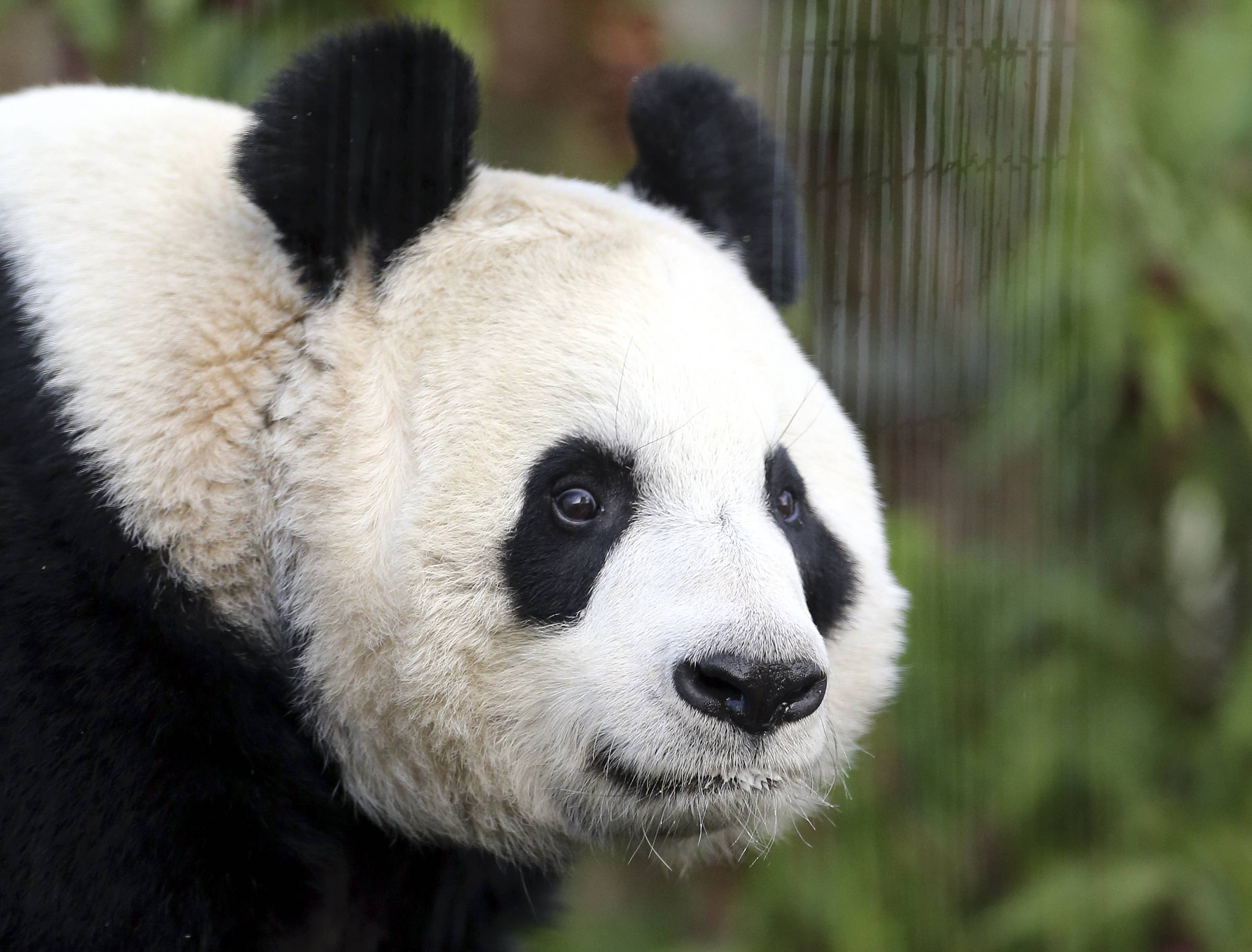 Officials at Edinburgh Zoo said Tuesday Aug. 12, 2014 they believe a female giant panda, Tian Tian, is finally pregnant after months of anticipation.